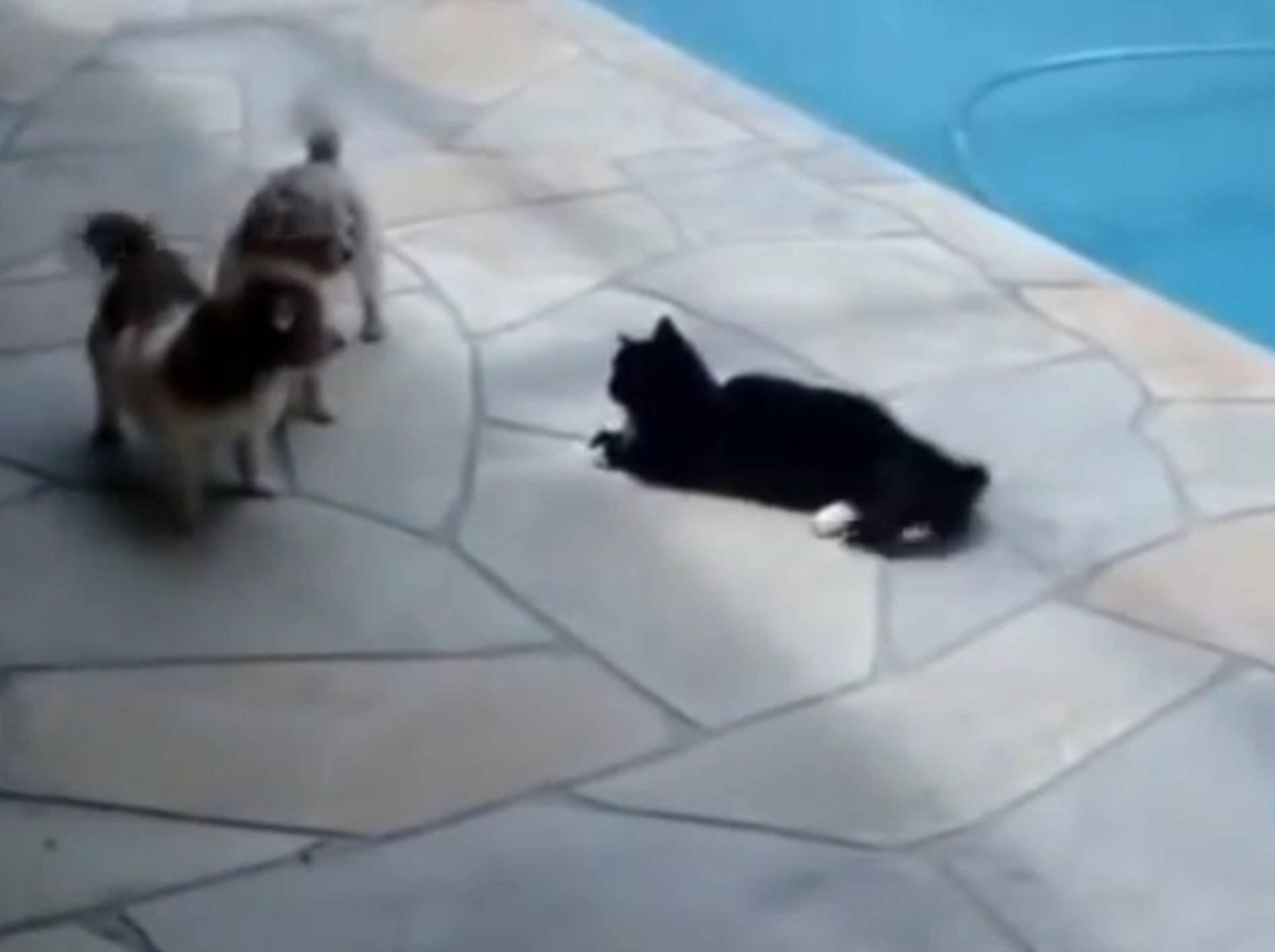 Katze schubst Hund in den Pool – Bild: YouTube / Eduardo Holanda