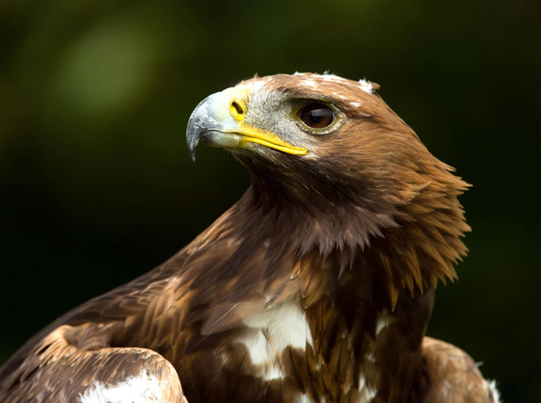 Steinadler sind Greifvögel, die als Einzelgänger leben – Bild: Shutterstock / davemhuntphotography