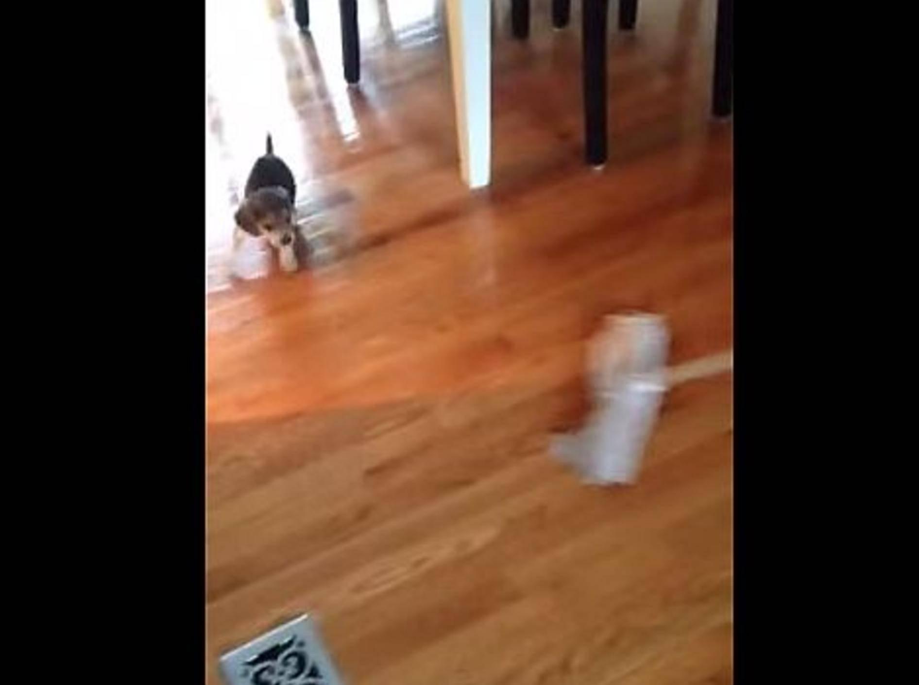 Beagle-Welpe: Juhu, heute ist Putztag! – Bild: YouTube / Kelly Ross