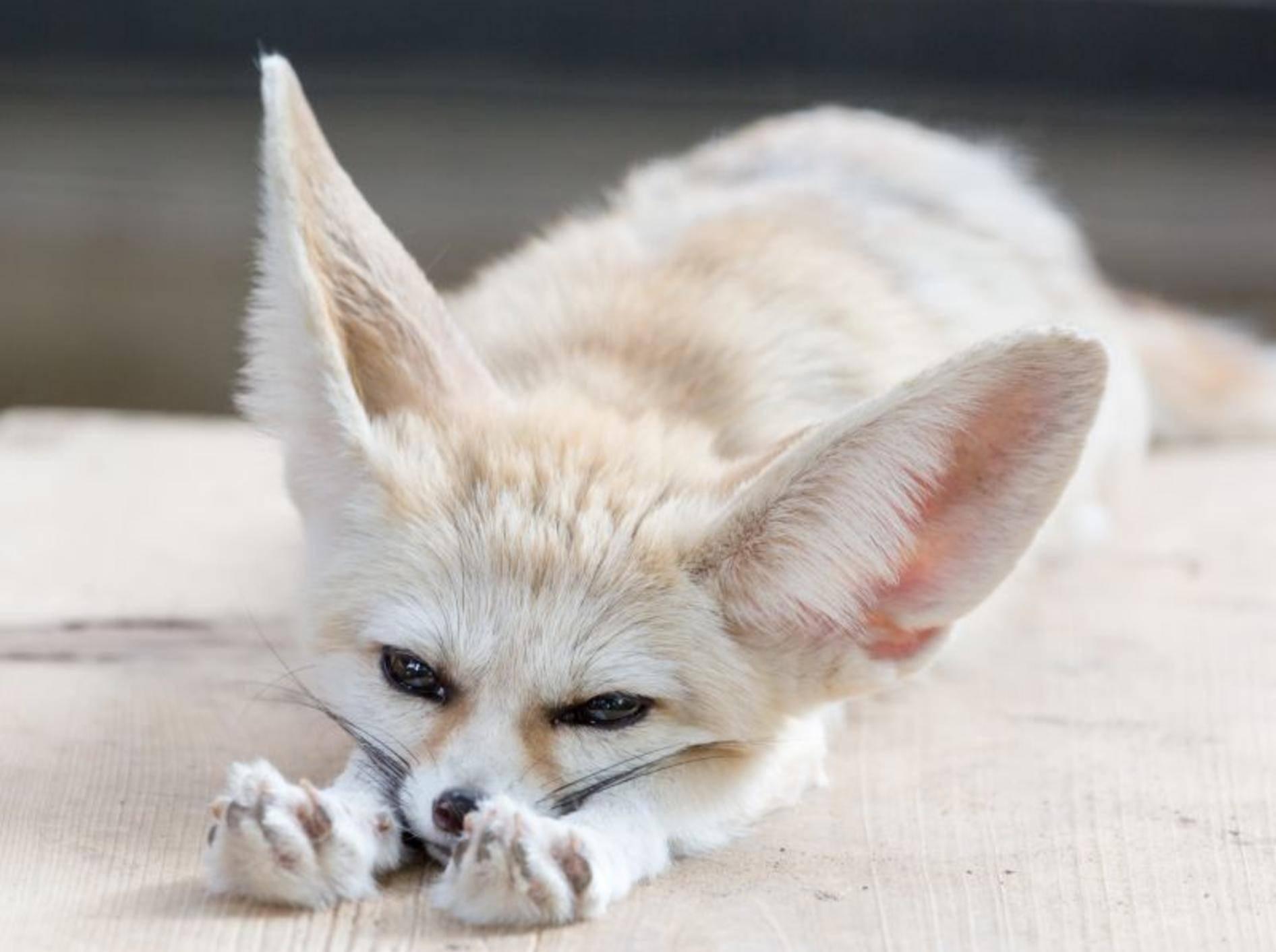 Kleinster Wildhund der Welt: Der Fennek – Bild: Shutterstock / odimup