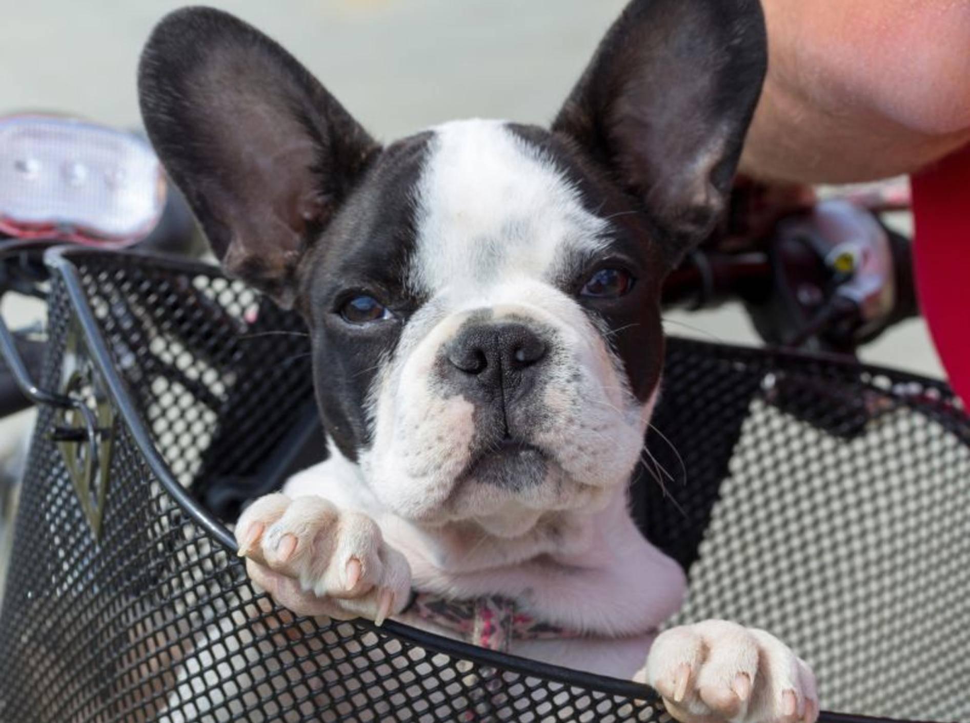 Kleine, gemütliche Hunde reisen meist lieber im sicheren Fahrradkorb mit – Bild: Shutterstock / Kwiatek7