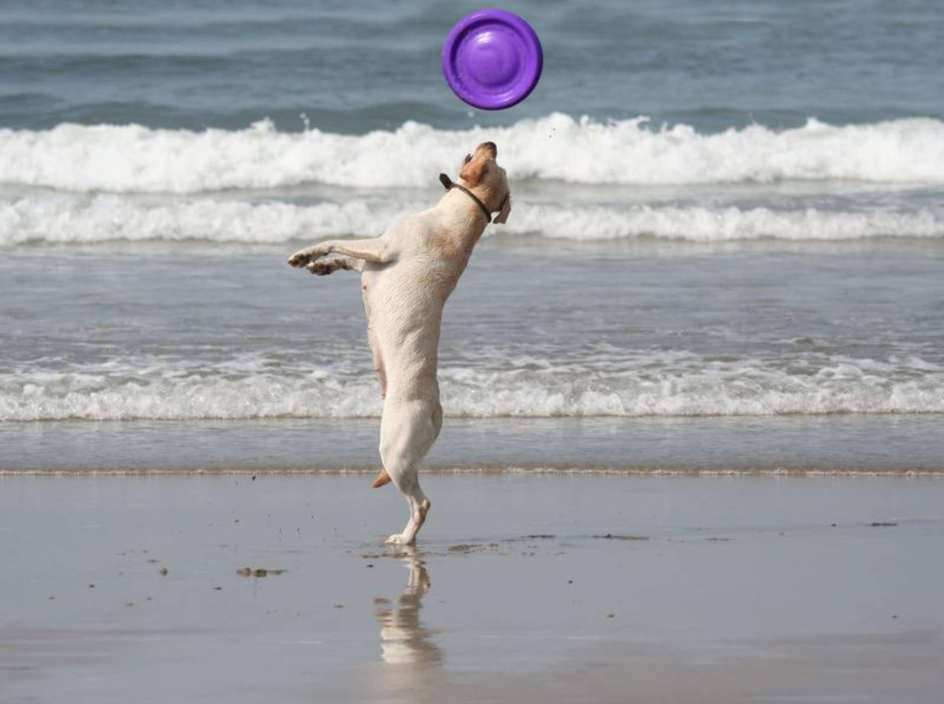 Toben am Strand: Das macht Hunden Spaß! – Bild: Shutterstock / Fernando Jose V. Soares
