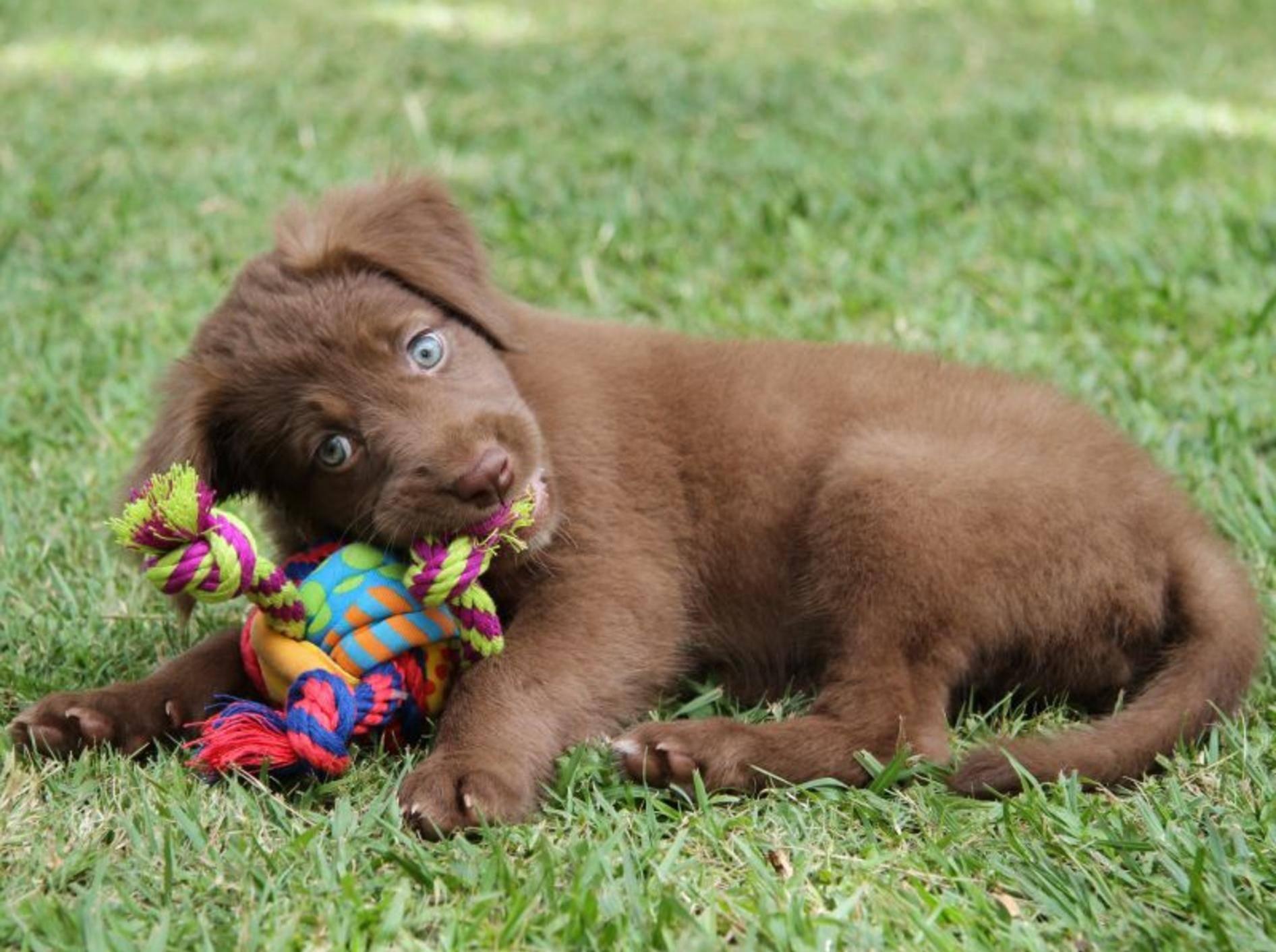 Welpenspielzeug: Beschäftigung für kleine Hunde – Bild: Shutterstock / Jez Bennett