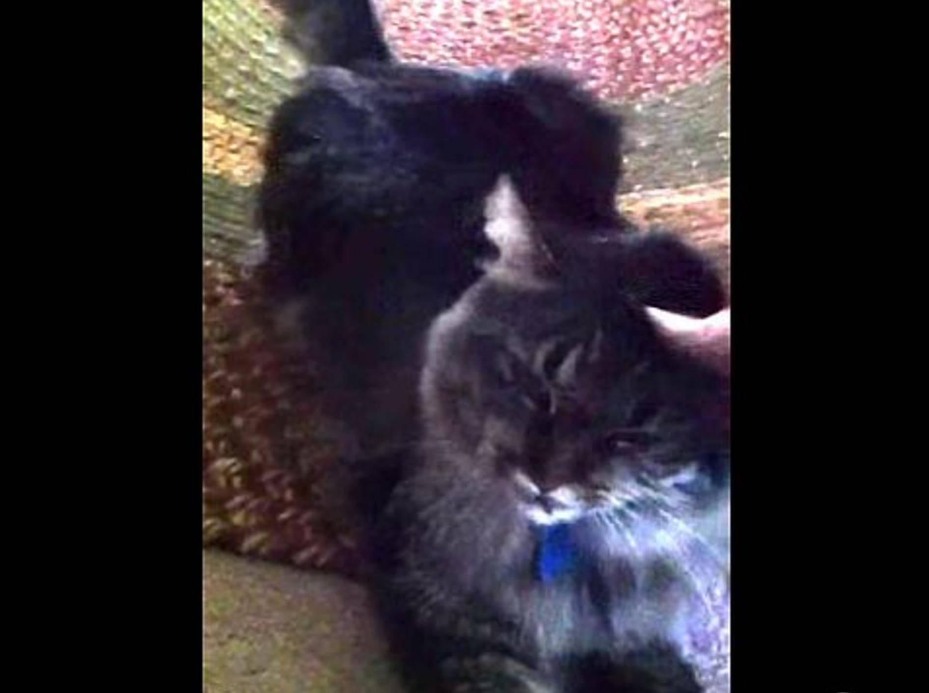 """Liebe Katze: """"Mensch, hab ich dich vermisst!"""" – Bild: Youtube / celestyn05"""