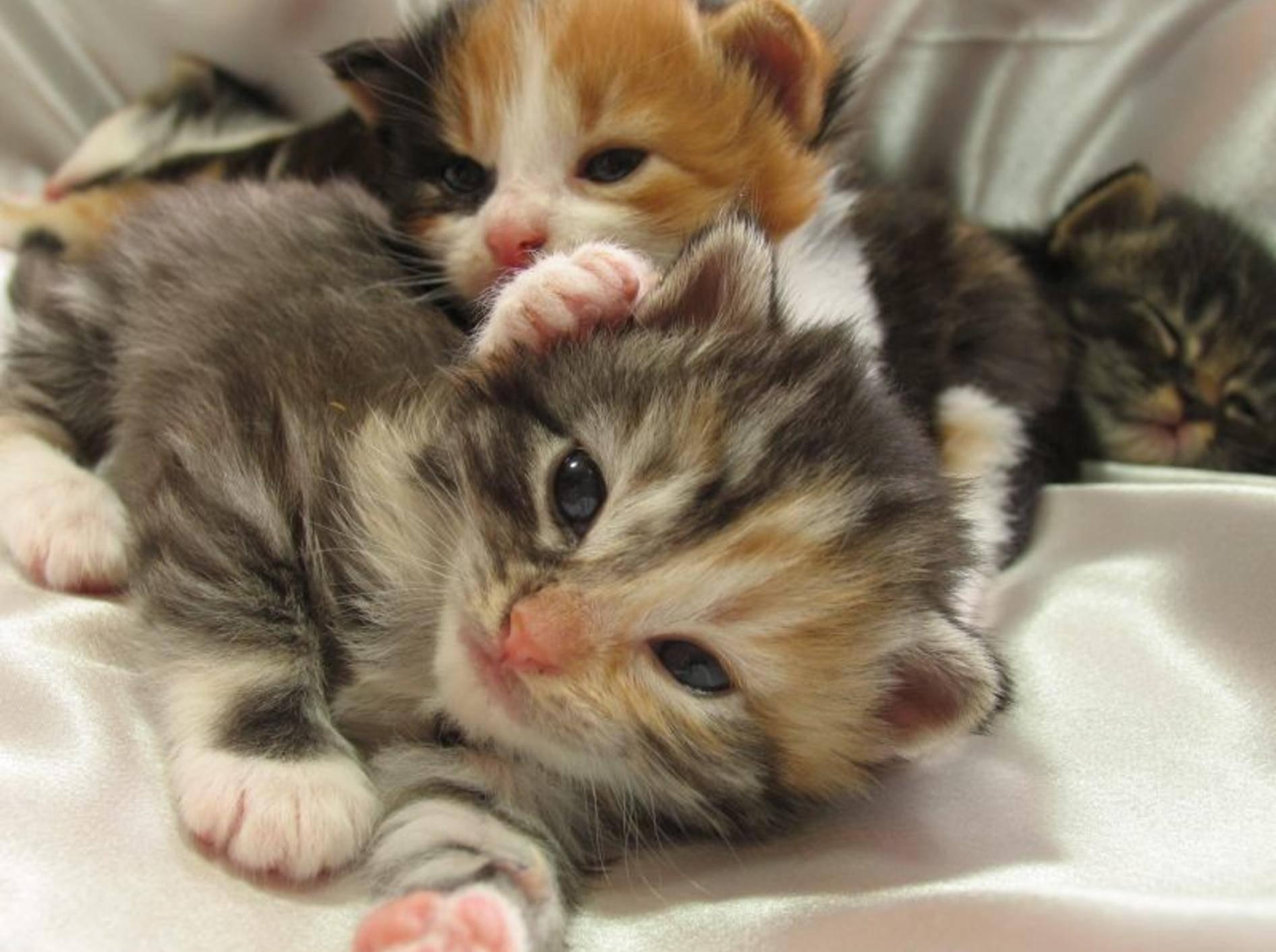 Wirklich süß: Jedes dreifarbige Katzenbaby hat eine ganz individuelle Zeichnung – Bild: Shutterstock / Debbie Oetgen