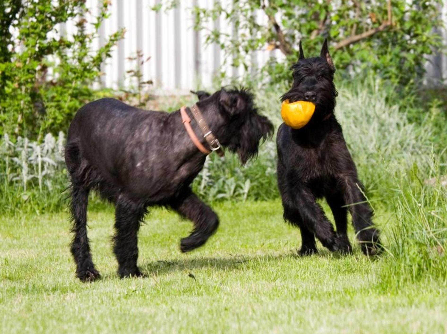 Rennen, spielen, mit anderen Hunden toben: Der Riesenschnauzer ist ein Energiebündel – Bild: Shutterstock / Danila