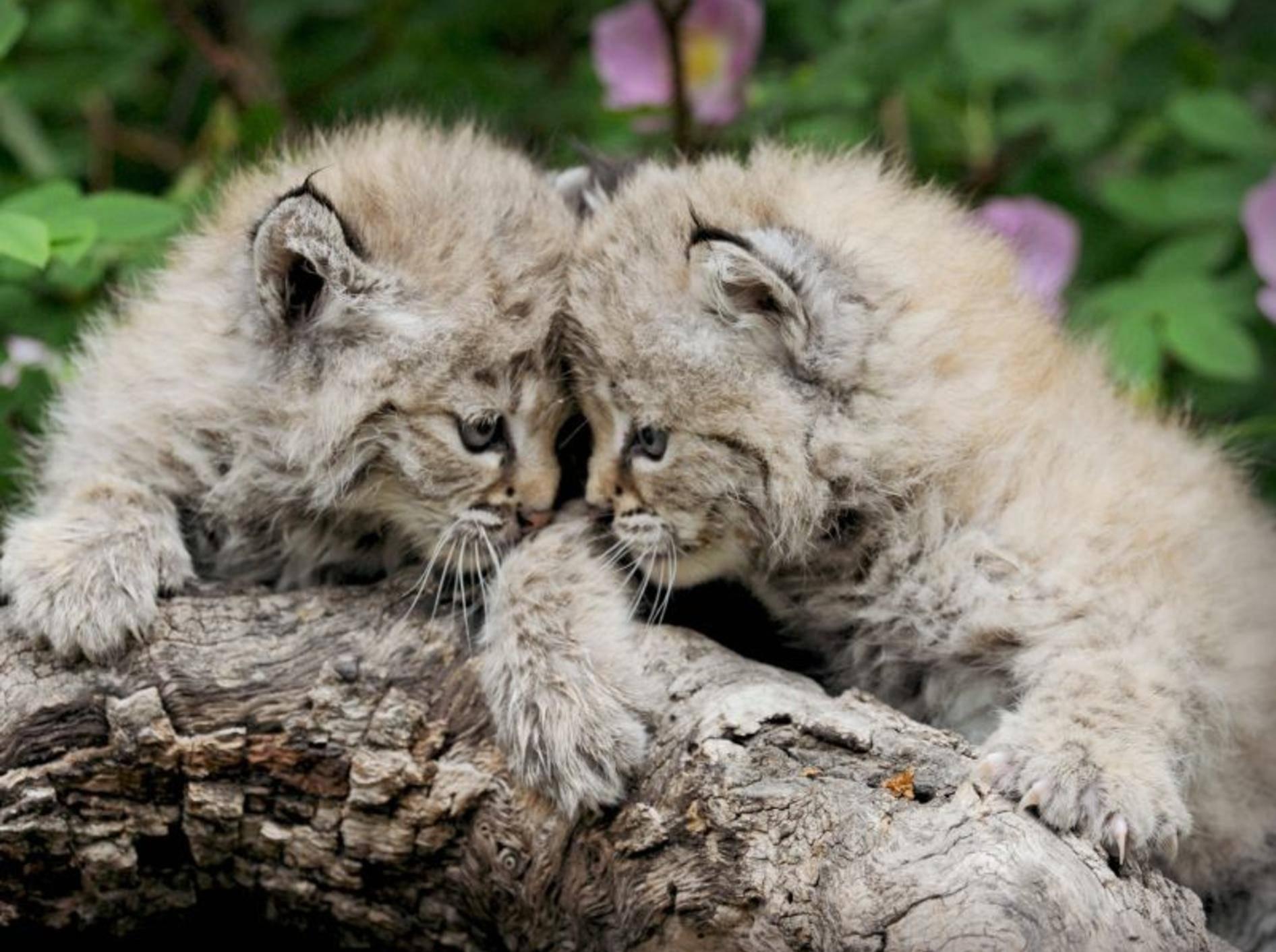 Erst ein paar Wochen auf der Welt: Rotluchse werden meist im Frühjahr geboren – Bild: Shutterstock / Kimberly Griffith