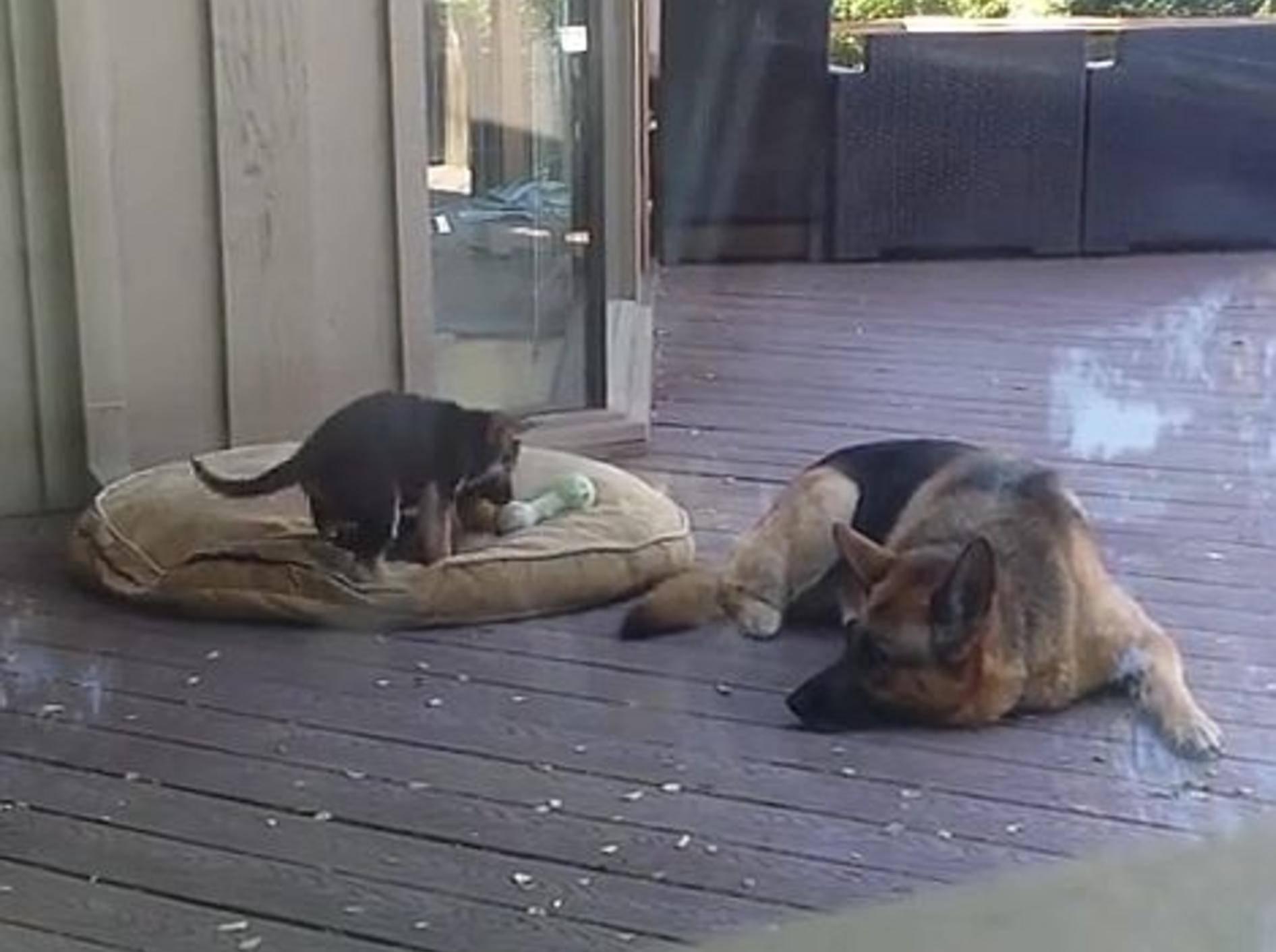 Schäferhund bringt Welpen ins Bett – Bild: Youtube / 1029utube