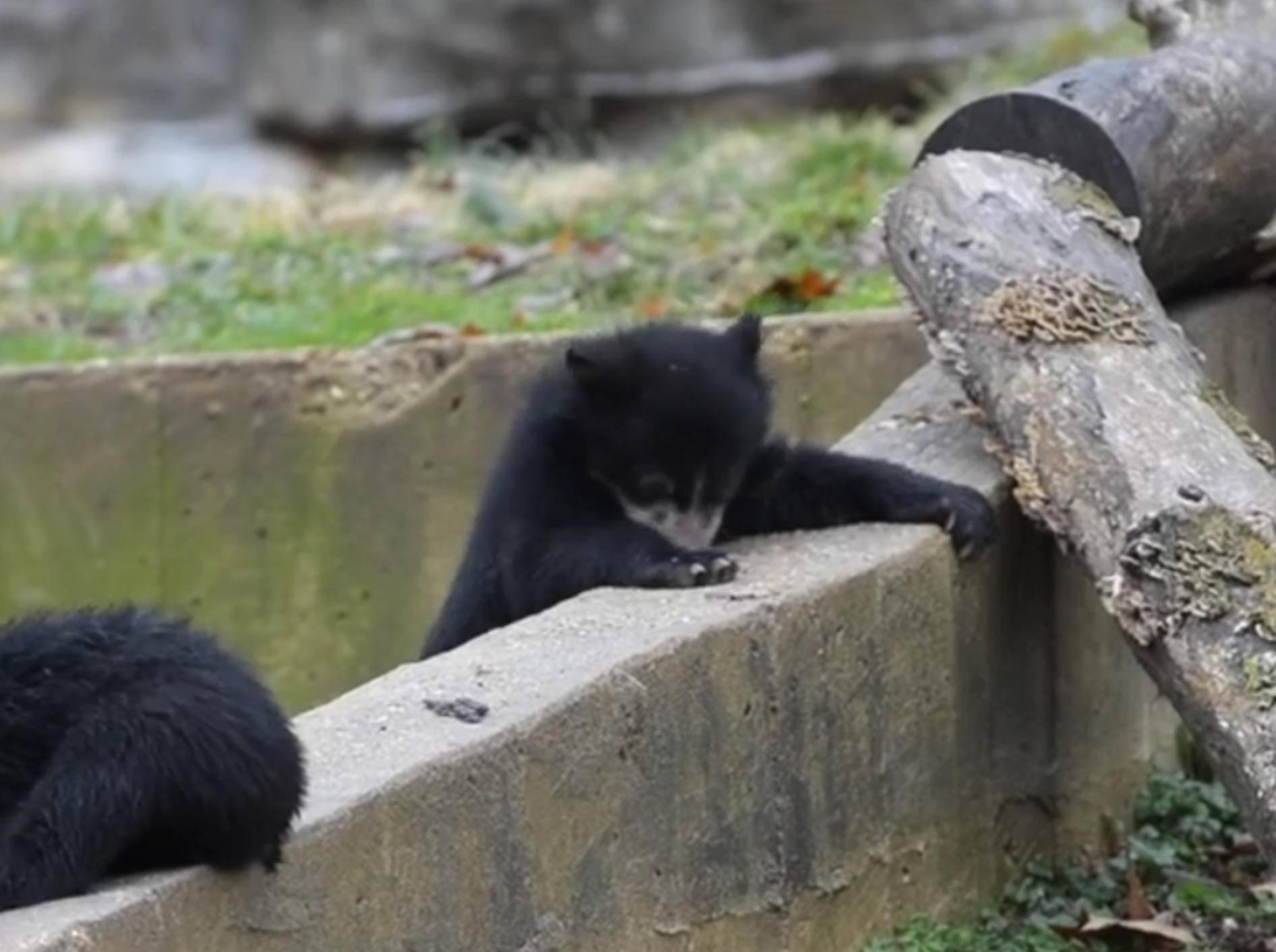 """Plumps!"" Bärenbabys erkunden ihr Gehege – Bild: YouTube / Smithsonian's National Zoo"