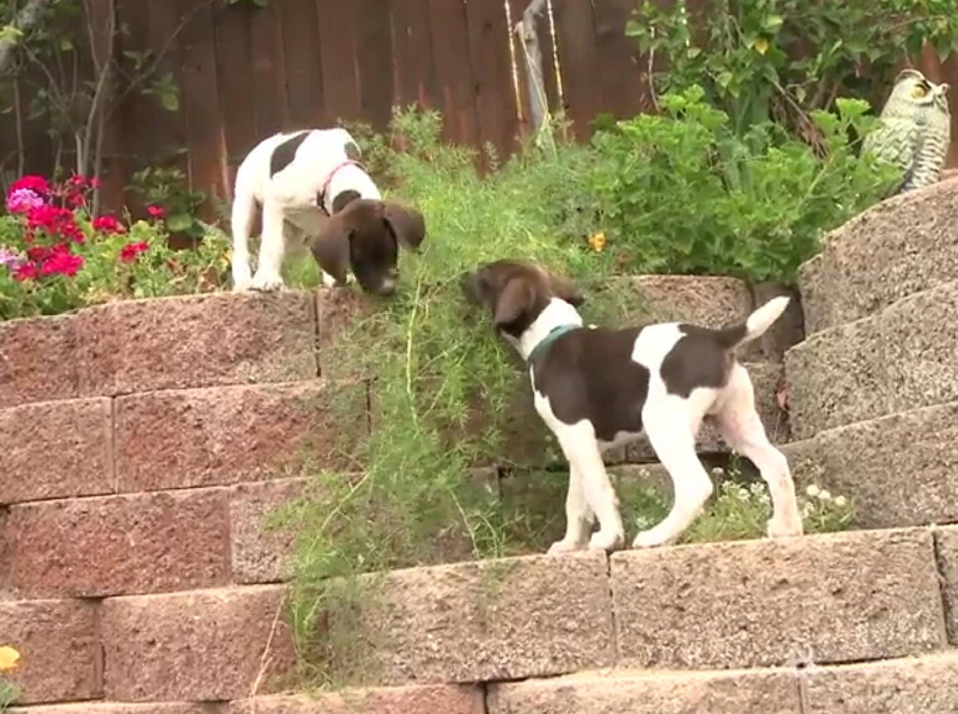Deutsch Kurzhaar-Welpen im Blumenbeet – Bild: YouTube / The Pet Collective