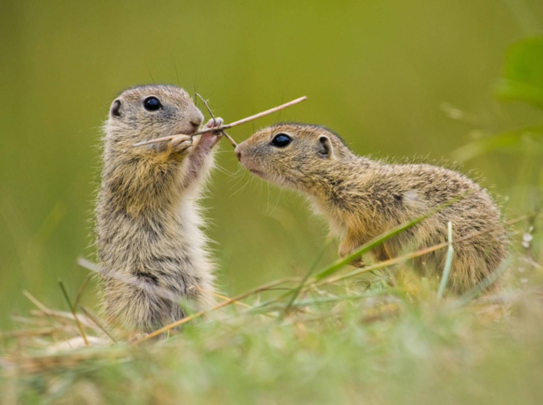 Europäische Ziesel, wie diese zwei süßen Tierchen, gehören zur Familie der Hörnchen – Bild: Shutterstock / Jakub Mrocek