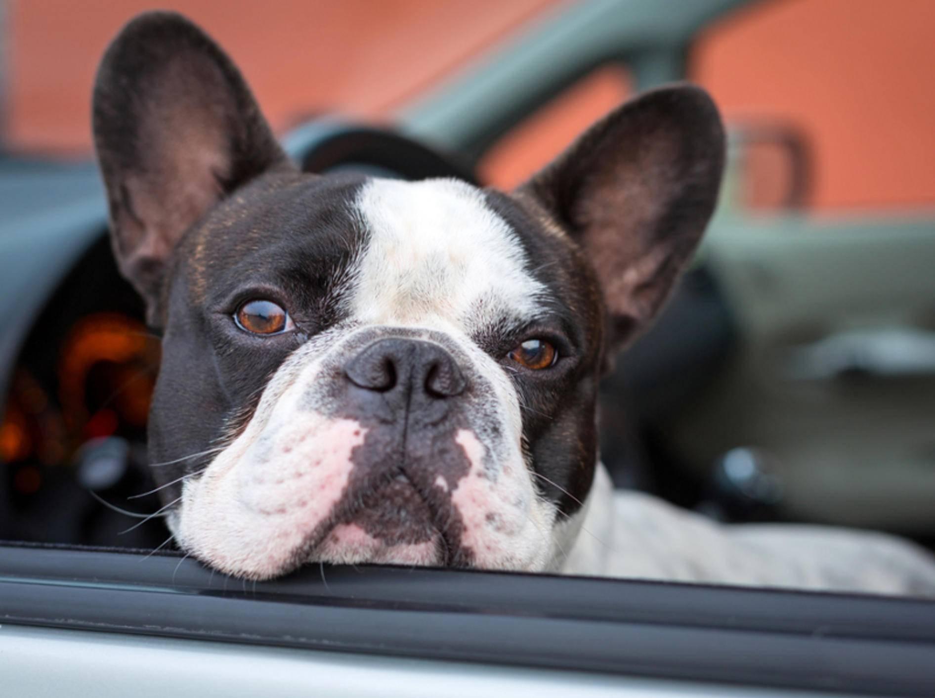 Reisekrankheit bei Hunden lässt sich mit verschiedenen Mitteln behandeln – Shutterstock / Patryk Kosmider