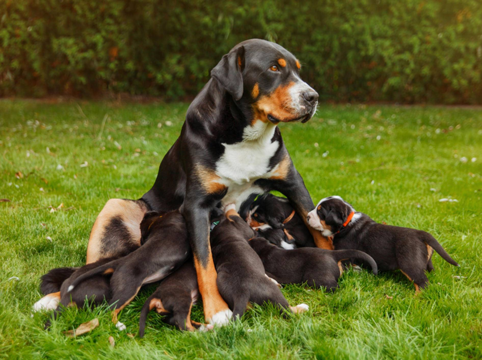 Wenn eine säugende Hündin so viele Junge versorgen muss, braucht sie viel Energie – Shutterstock / Zuzana Uhlíková