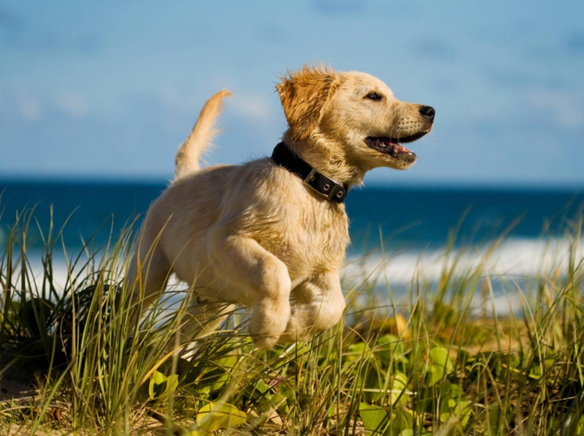 Vorsicht im Urlaub: In einigen Regionen droht Ihrem Hund eine Infektion mit Parasiten – Shutterstock / Martin Valigursky