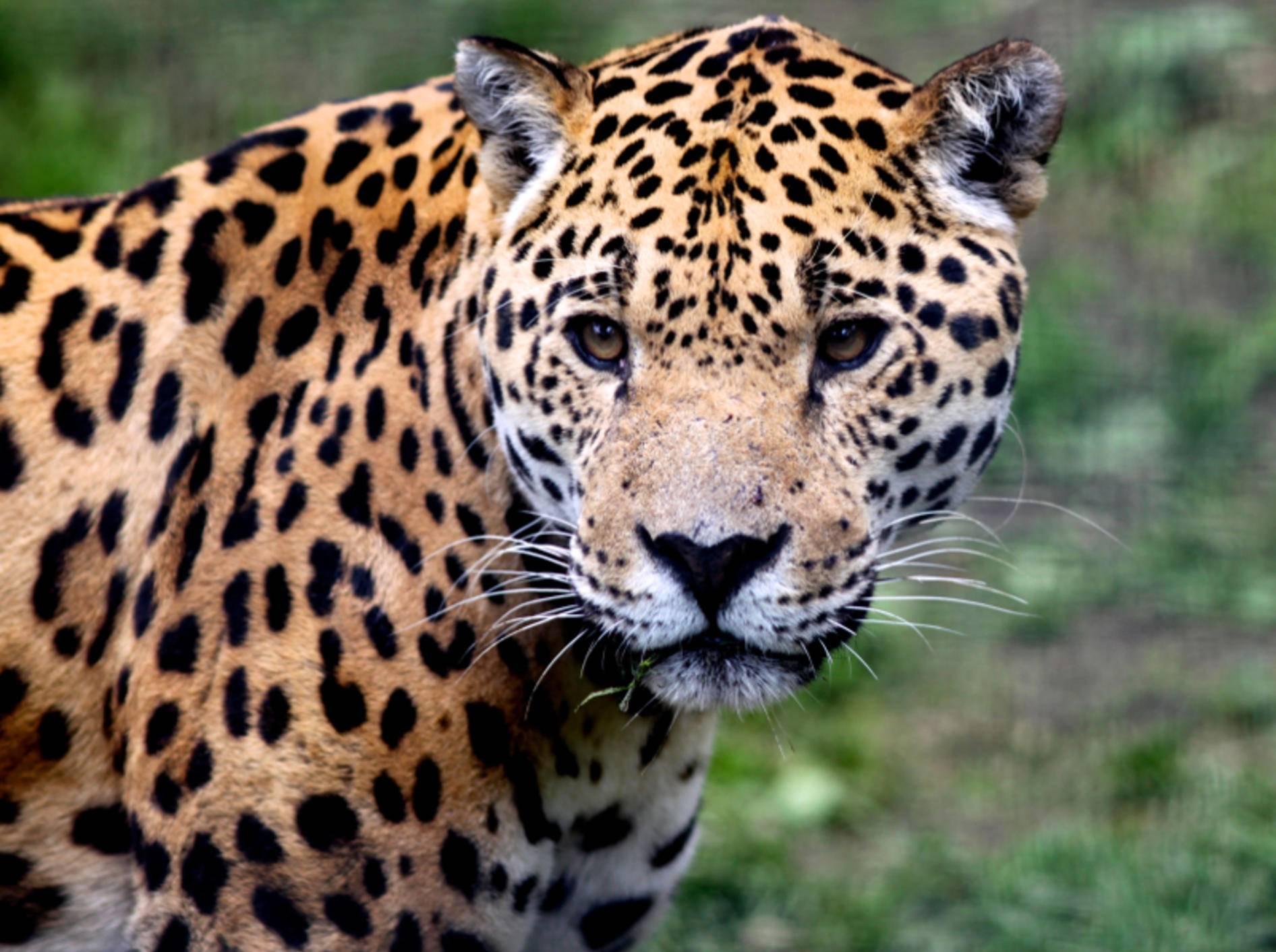 Der Jaguar ist die drittgrößte Raubkatze auf der Welt – Bild: Shutterstock / Michael Ransburg