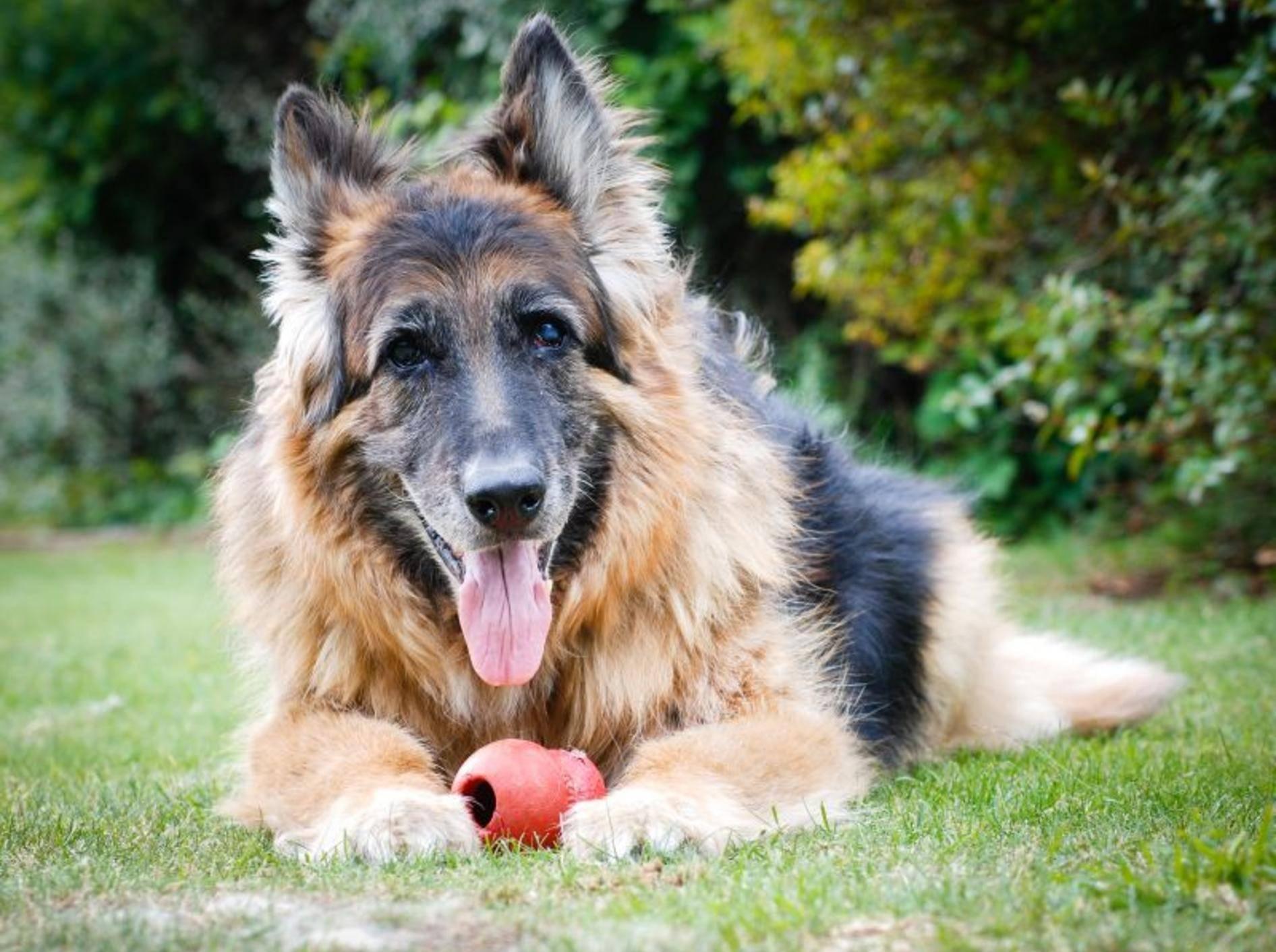 Auch alte Hunde freuen sich über Beschäftigung – Bild: Shutterstock / Alan Wesley