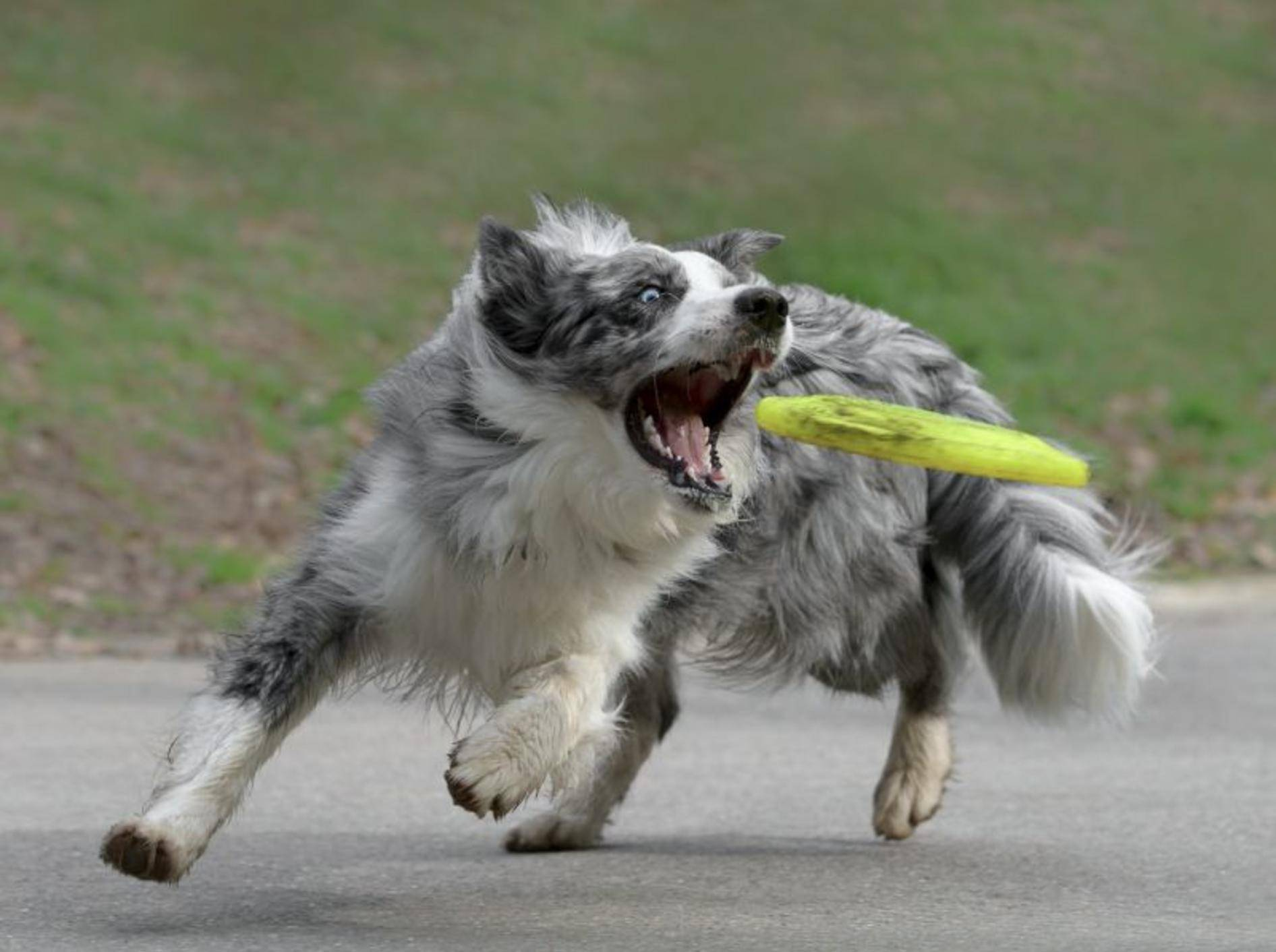 """""""Die krieg ich!"""" ist sich dieser sportliche Border Collie sicher – Bild: Shutterstock / tsik"""