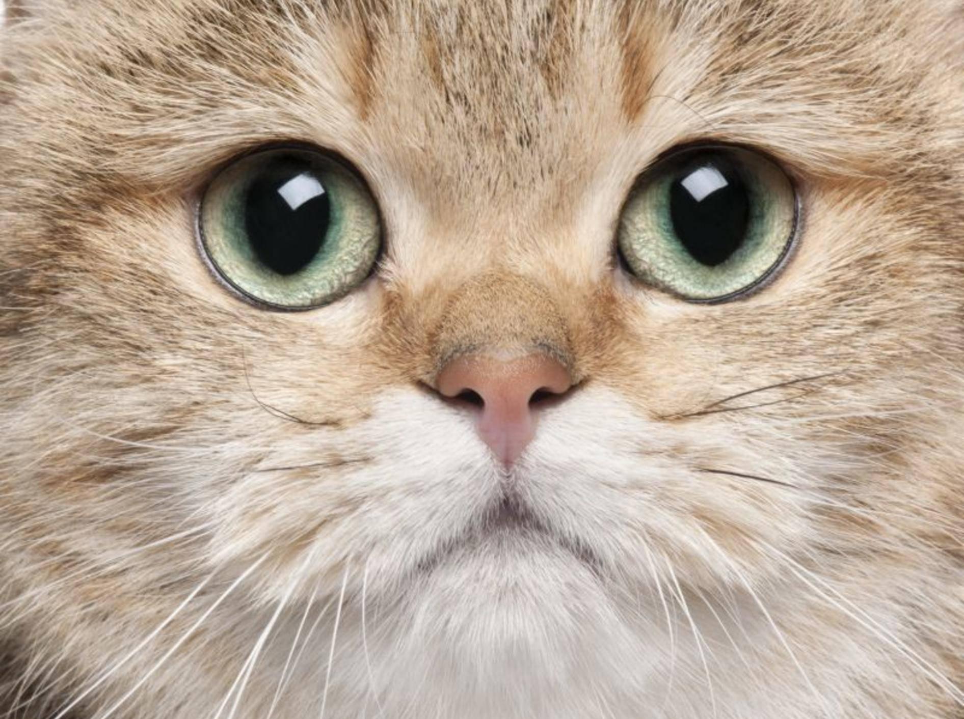 Die Pflege der Katzenaugen ist nur in bestimmten Fällen notwendig – Bild: Shutterstock / Eric Isselee