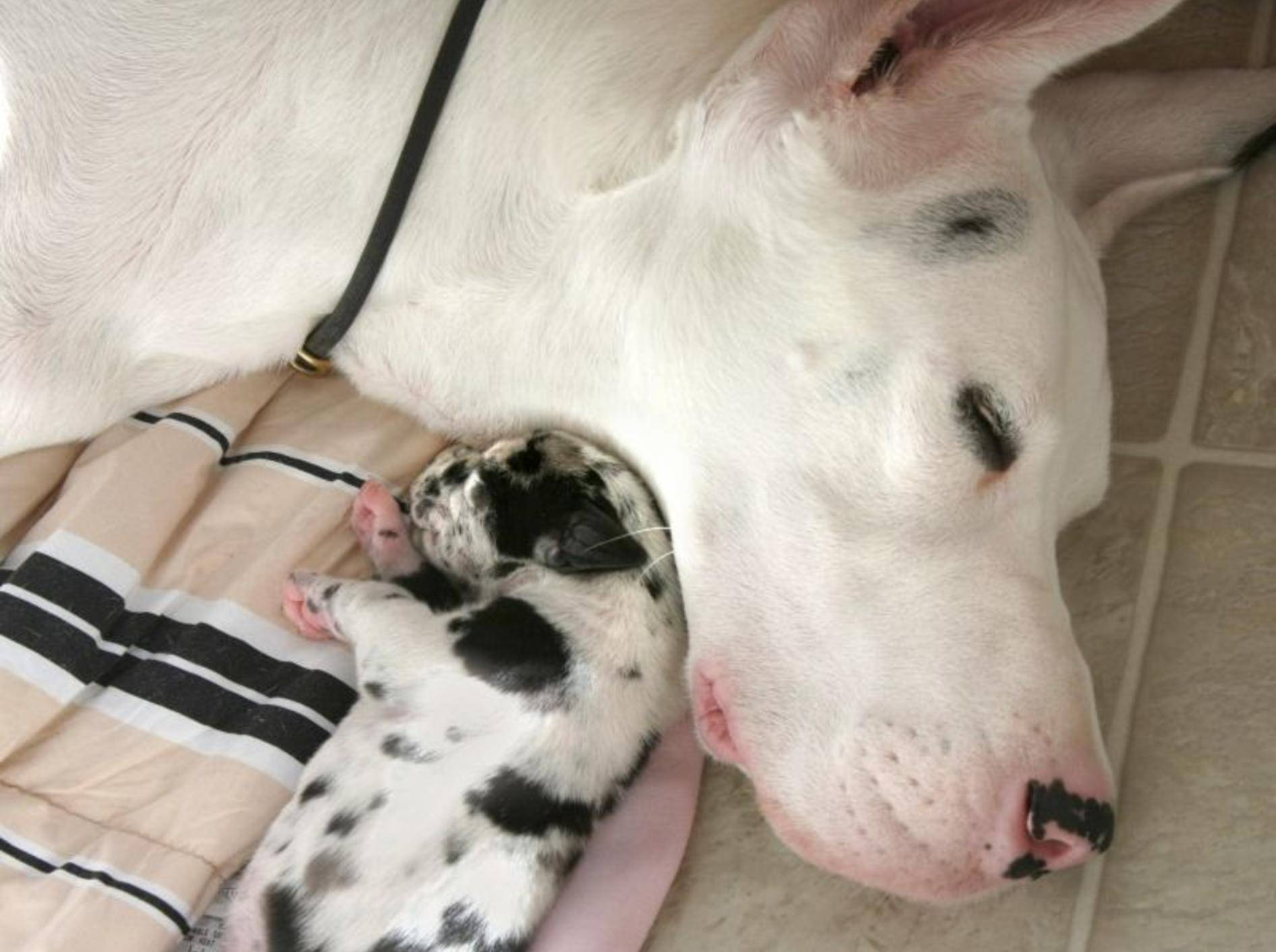 Der Kleinste macht den Anfang: Ein Deutsche-Doggen-Welpe kuschelt mit seiner Mama – Bild: Shutterstock / Photohunter