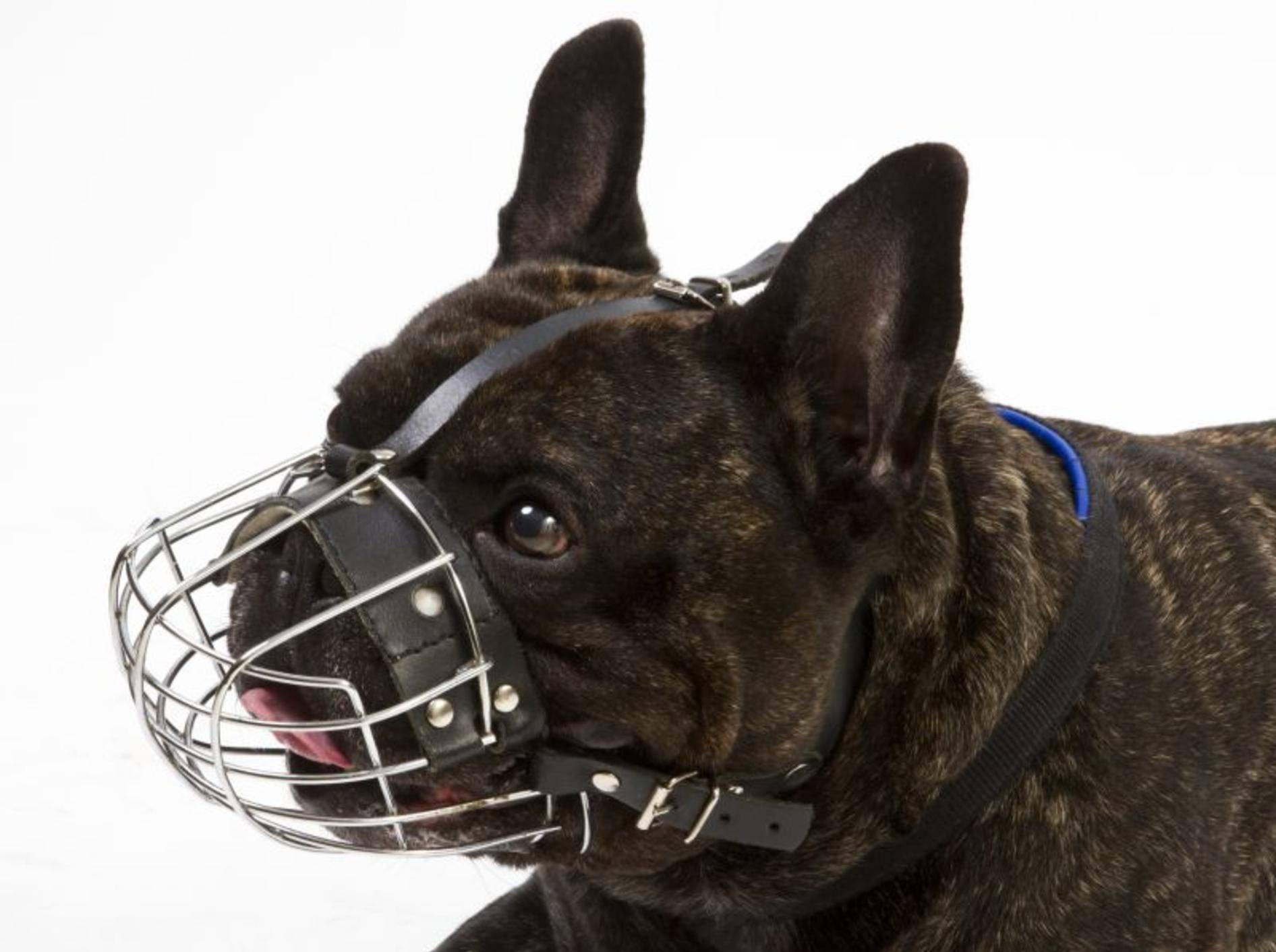 Französische Bulldogge mit Maulkorb – Shutterstock / spflaum