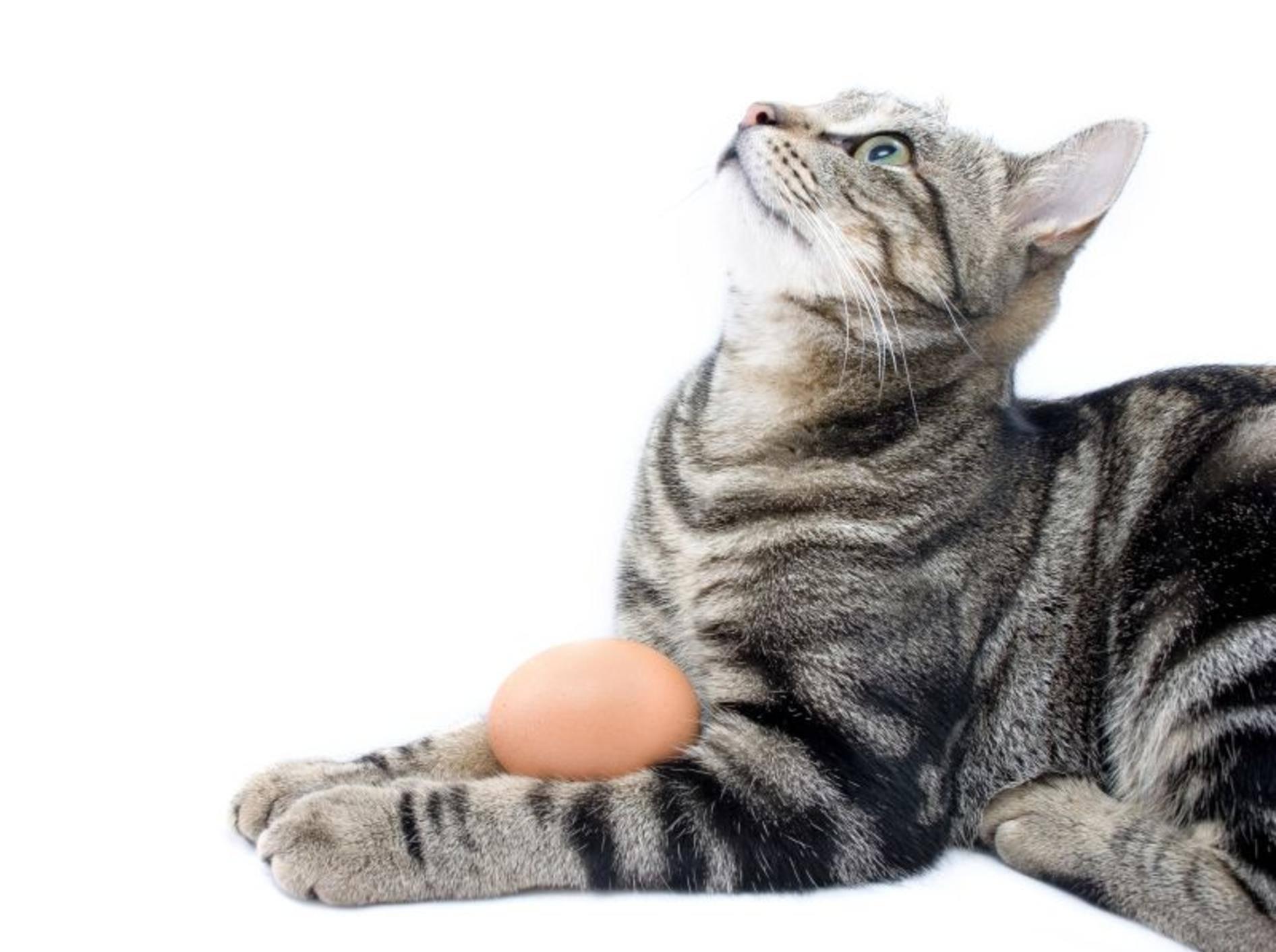 Wer seine Katze mit Ei füttern möchte, sollte ein paar Dinge beachten – Shutterstock / dogboxstudio