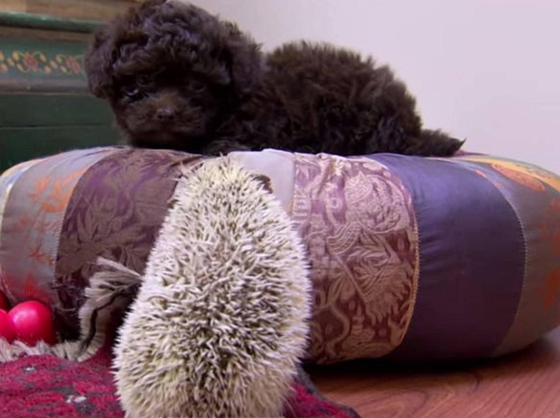Seltener Anblick: Igel und Welpe auf Abenteuern – Bild: Youtube / Animal Planet