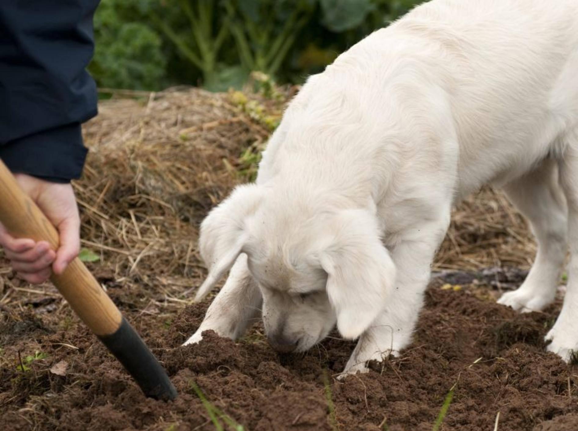 Wichtig für Hundebesitzer: Ist der Garten hundesicher? – Shutterstock / M_Nordin