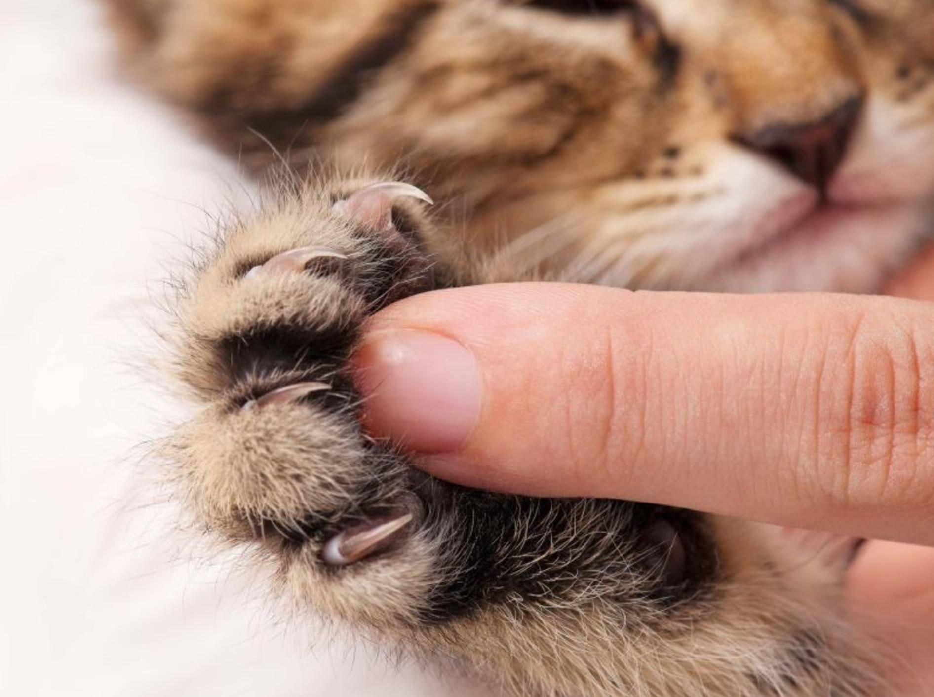 Katzenbabys müssen noch lernen, ihre Krallen beim Spielen unter Kontrolle zu haben – Shutterstock / Lubava