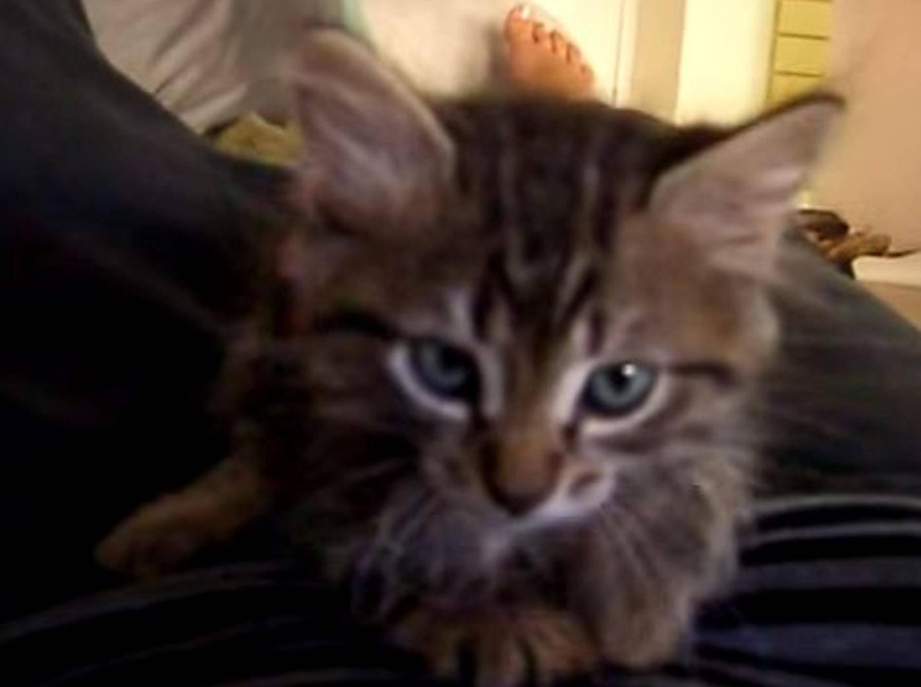 Supersüß: Eine Mini-Maine-Coon miaut – Bild: Youtube / rip211