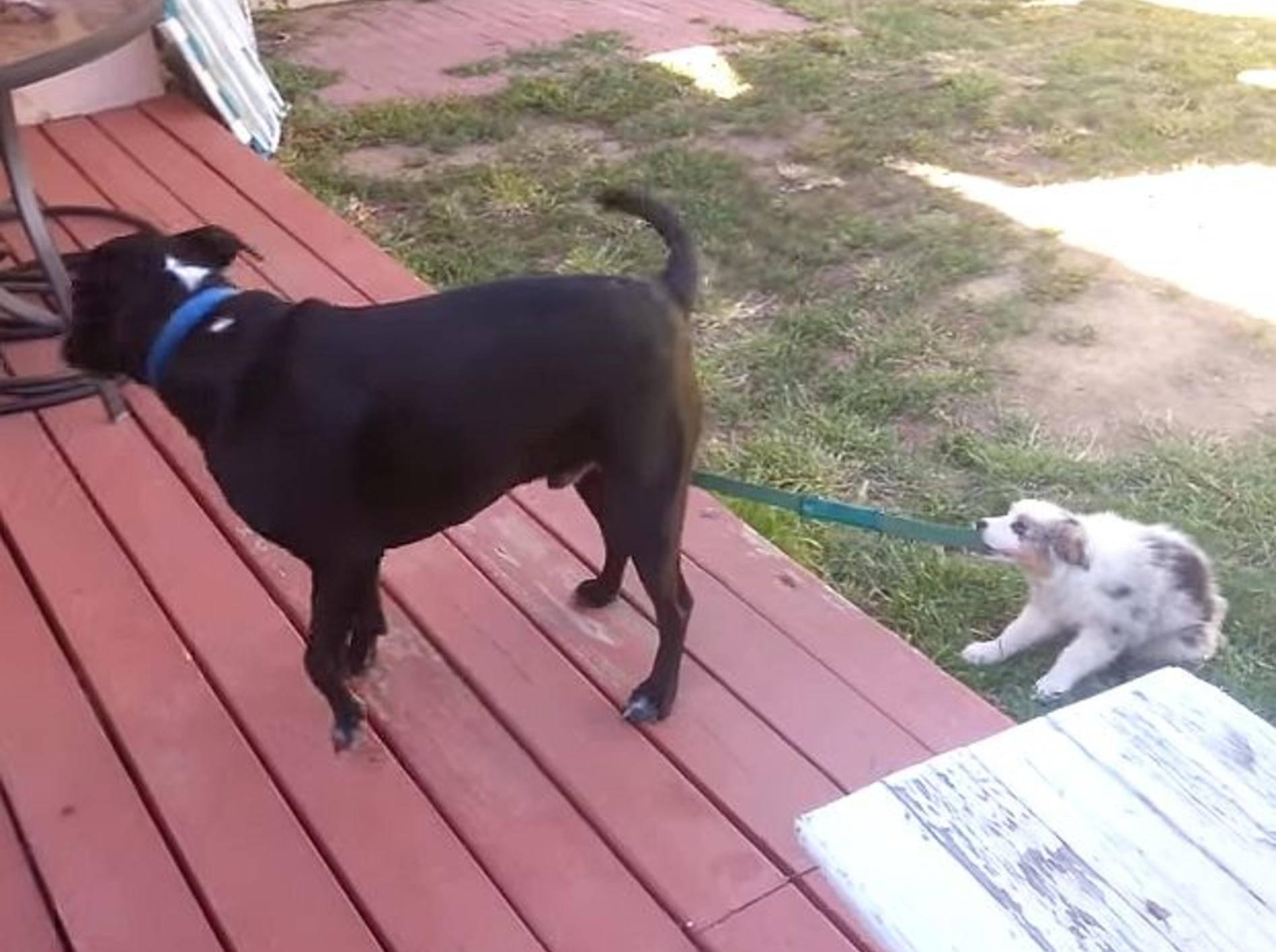 """Lustiger Welpe: """"Hey Kumpel, gehen wir spazieren?"""" – Bild: Youtube / Timmy Kelly"""
