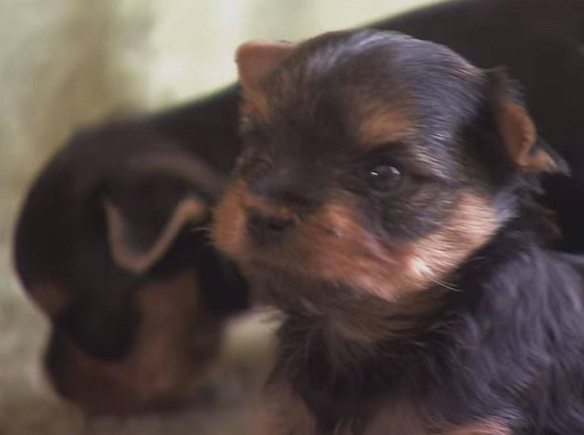 Terrier-Welpen: Klein aber oho – Bild: Youtube / Animal Planet