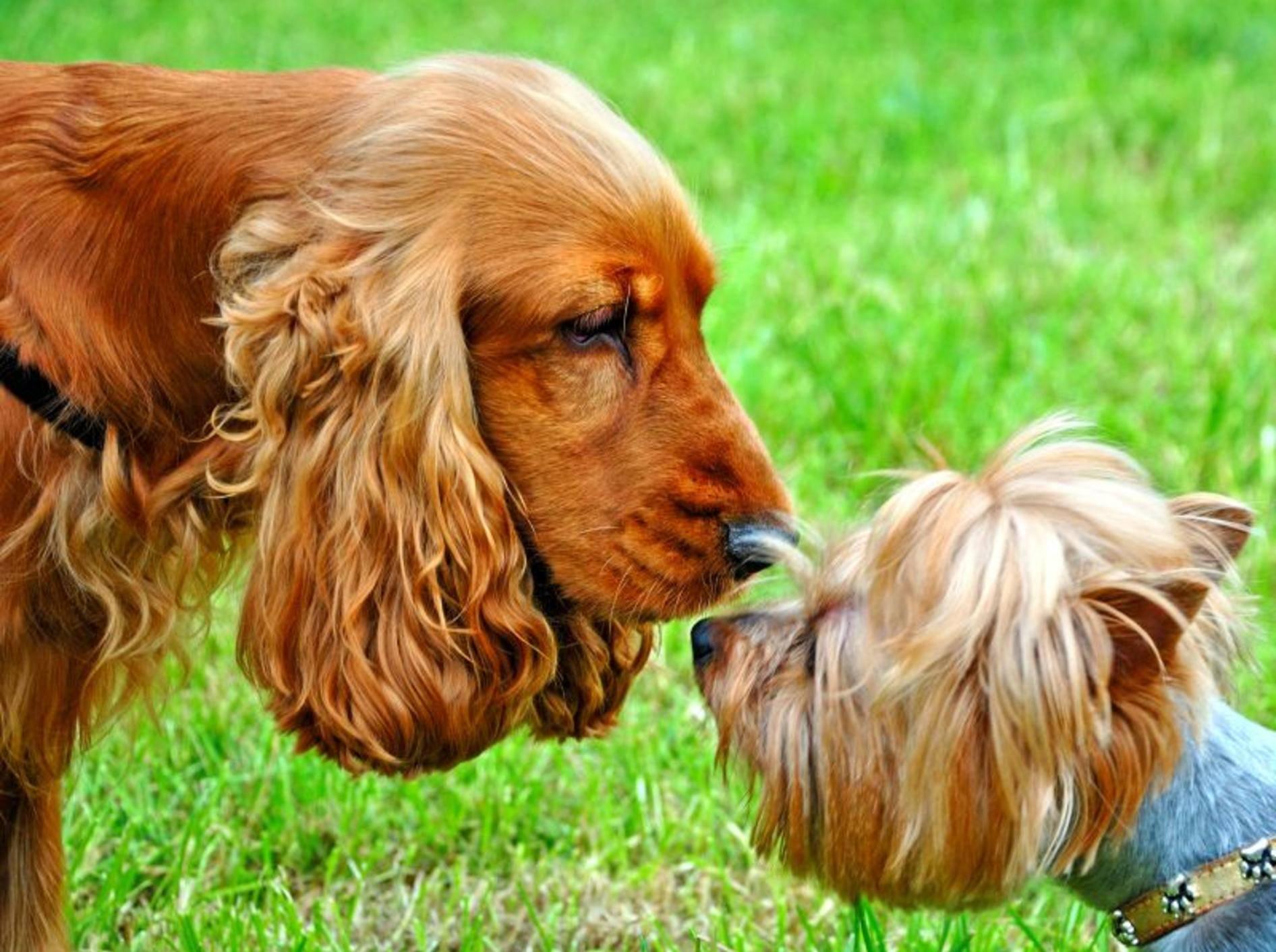 Mit ein paar Tipps laufen die Begegnungen zwischen Hunden harmlos ab – Bild: Shutterstock / Volodymyr Burdiak