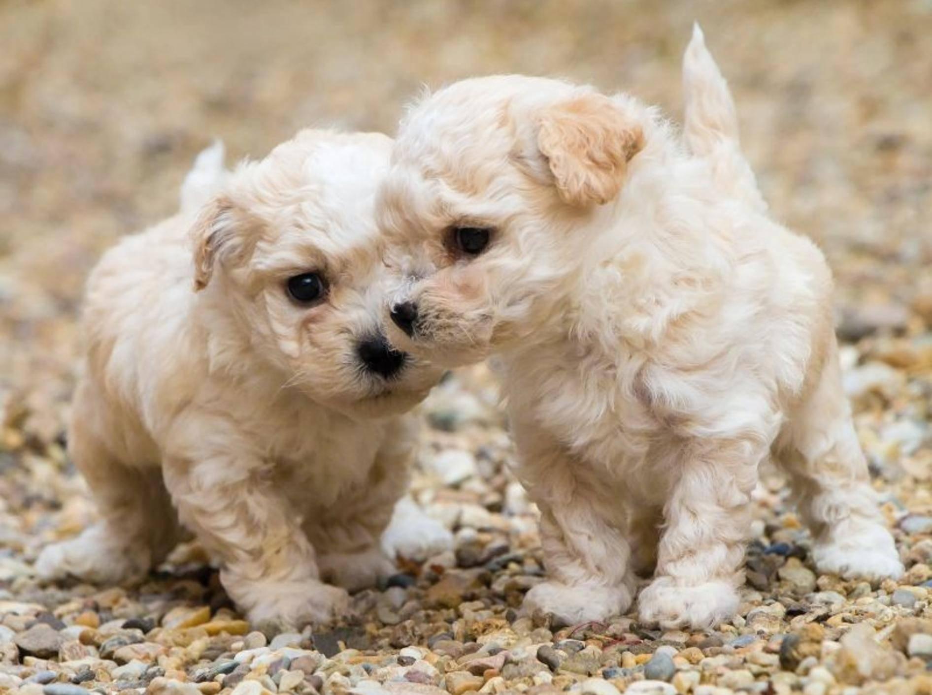 Tierisch klein und tierisch niedlich: Die ersten beiden Hunde in unserer Bildergalerie – Bild: Shutterstock / Petr Pajpach