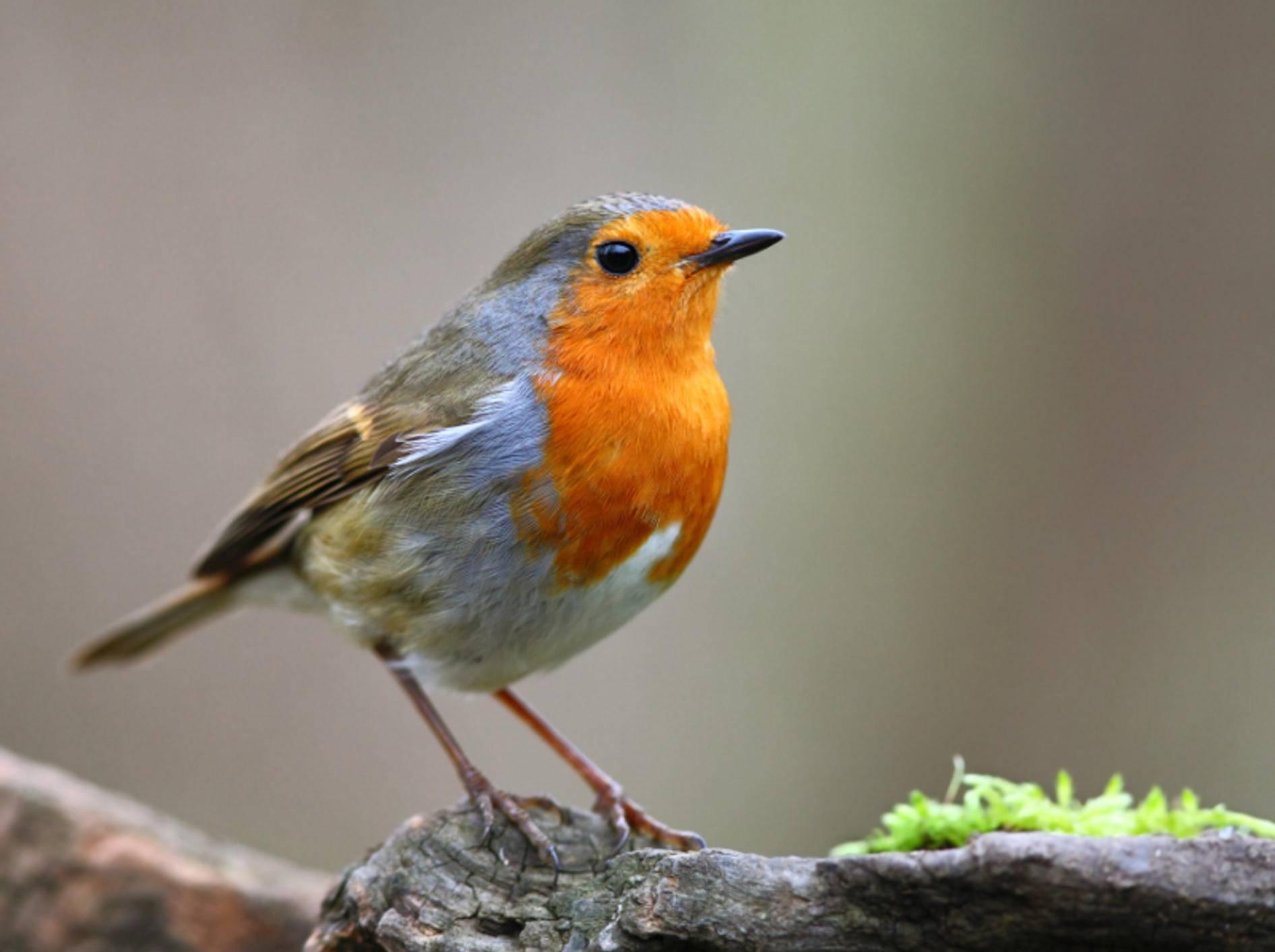 Farbenfroh: Bei Rotkehlchen fällt sofort das orangerote Gefieder an Brust, Kehle und Stirn auf – Bild: Shutterstock / Tomatito