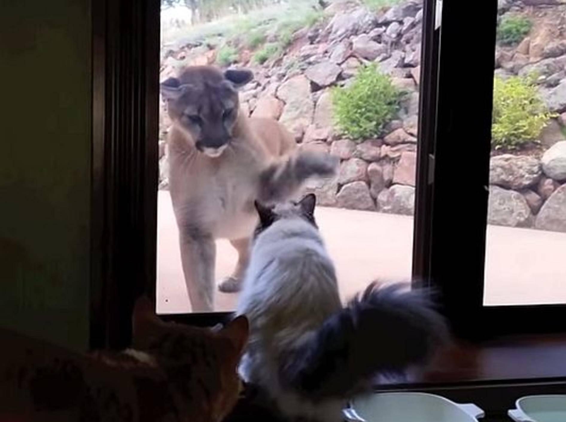 Abenteuerlich: Katze vertreibt Berglöwen – Bild: Youtube / MabeInAmerica