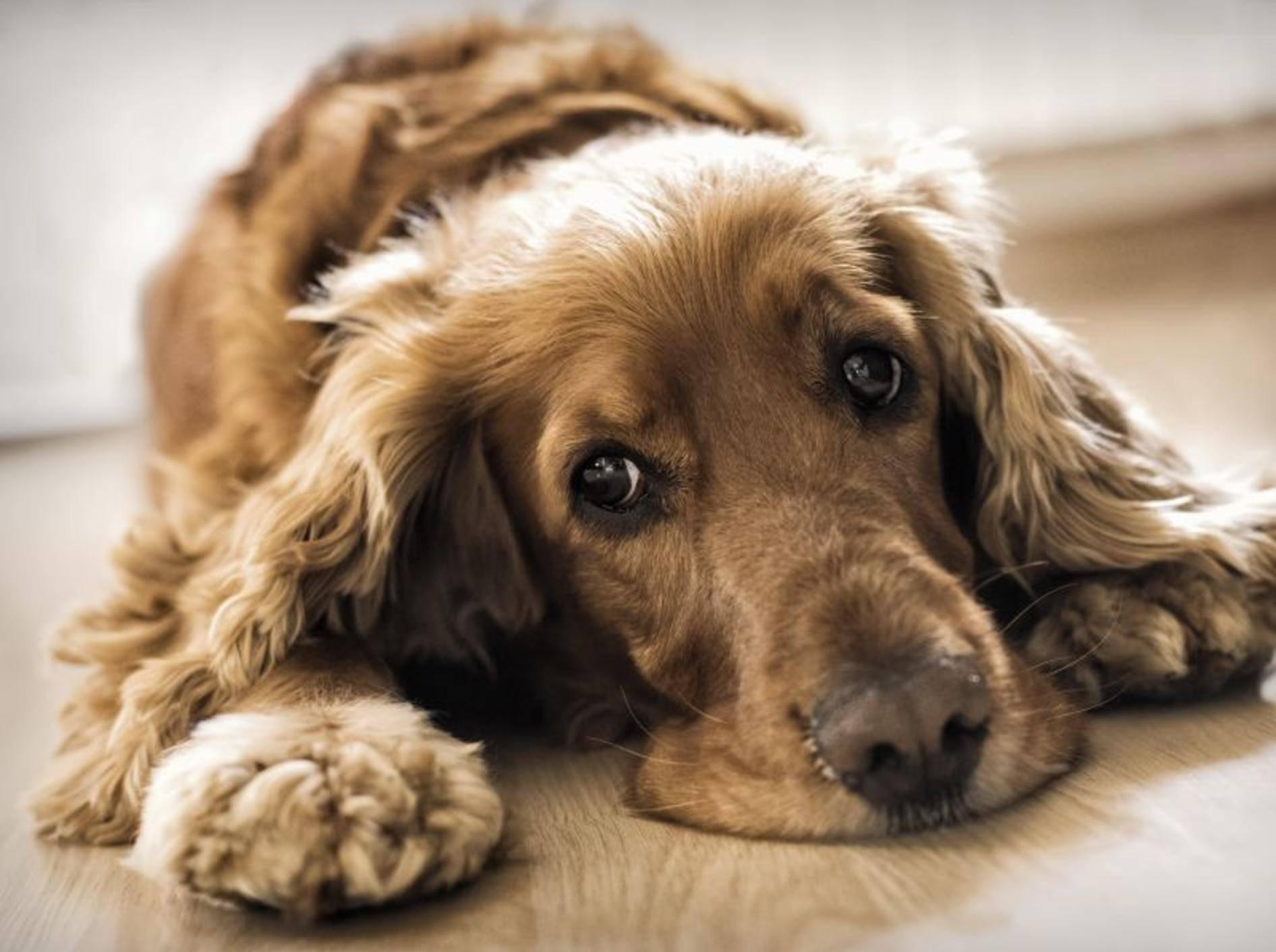 Beobachten Sie Ihren Hund genau, um herauszufinden, was ihn stresst – Shutterstock / Elisa 69