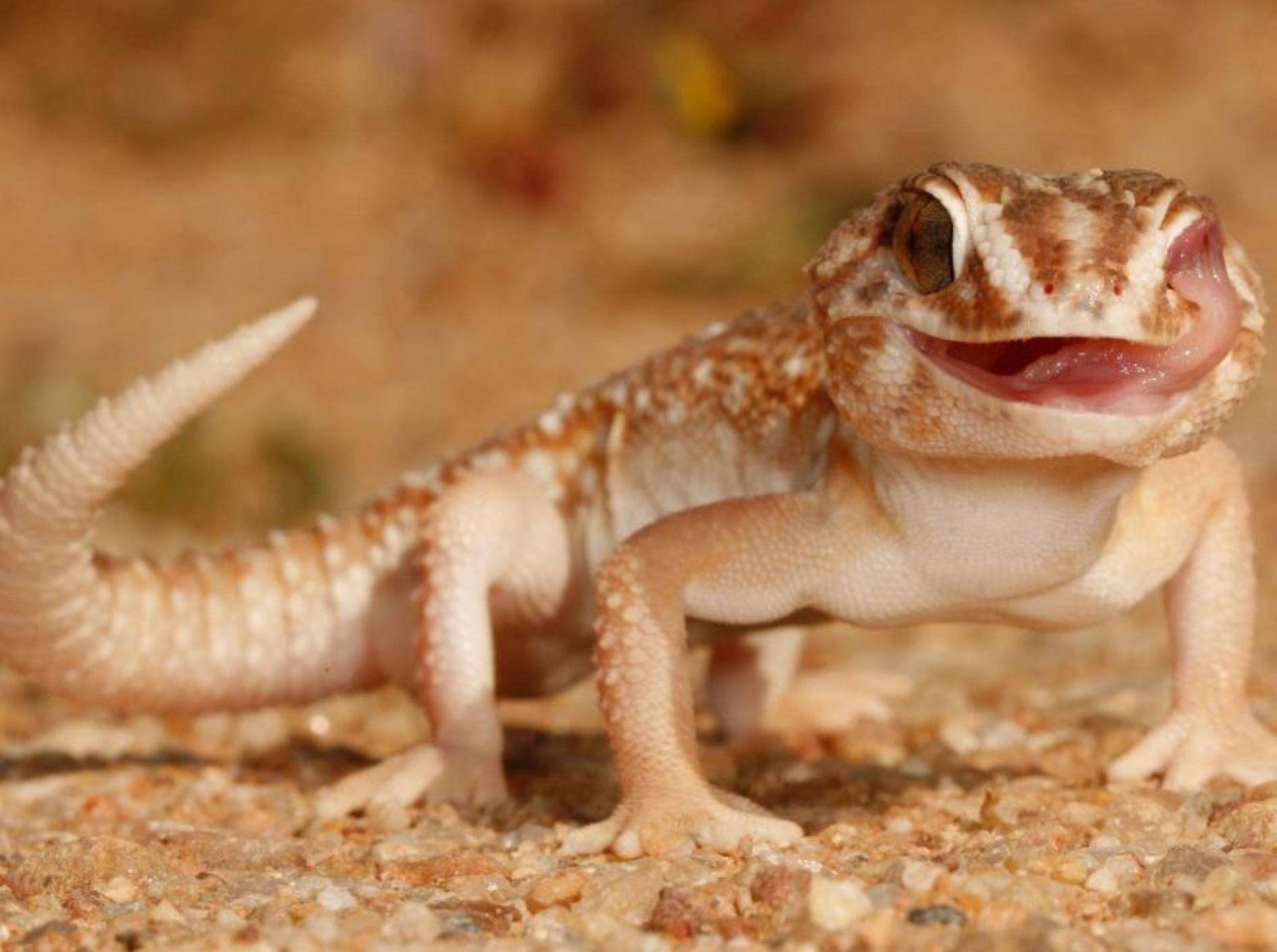 Der Sandgecko ist nachtaktiv und verbringt die heißen Mittagsstunden in seinen Gängen – Bild: Shutterstock / Andre Coetzer