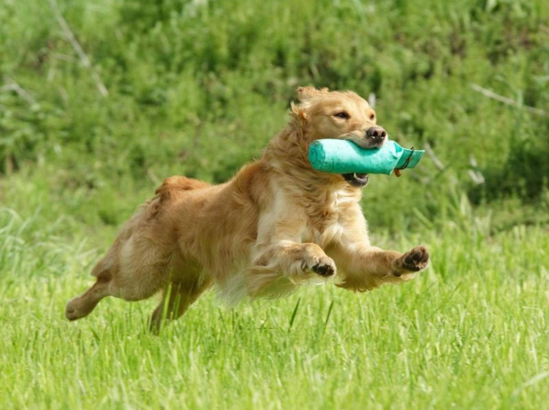 Dummytraining ist ein beliebter Hundesport bei Retriever-Besitzern – Bild: Shutterstock / vgm