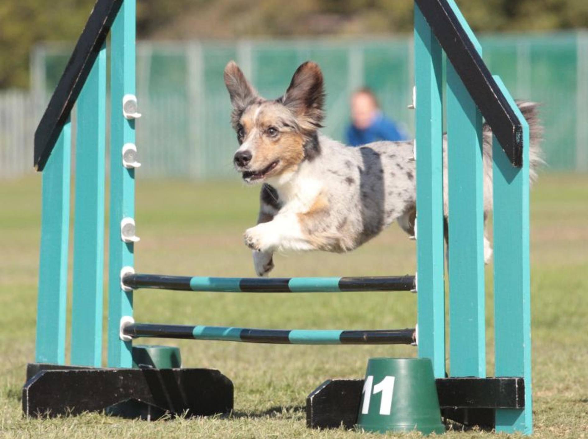 Agility ist eine der bekanntesten und beliebtesten Hundesportarten, deswegen macht sie den Anfang – Shutterstock / Mackland