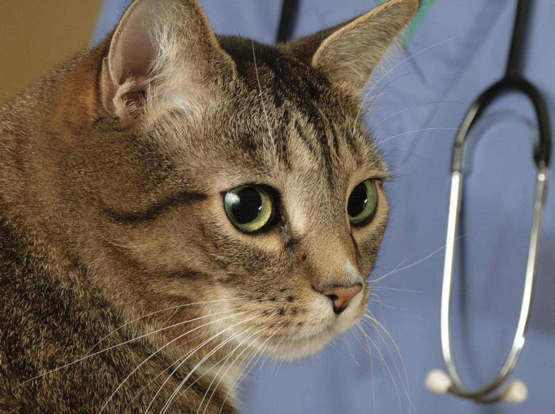 Unentdeckt können Herzwürmer und Hakenwürmer Katzen gefährlich werden – Bild: Shutterstock / Mr.Nikon
