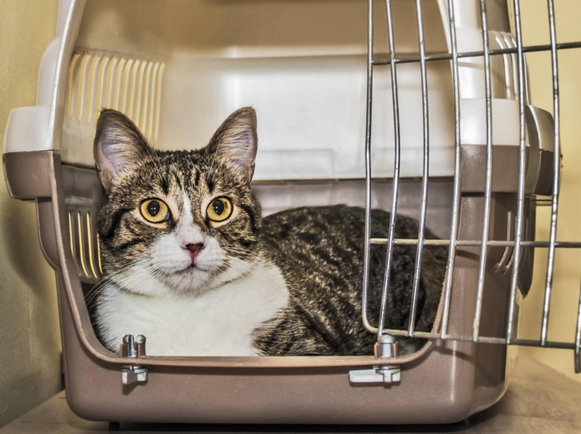 Mit ein paar Tipps bleibt Ihre Katze auf dem Weg zum Tierarzt entspannt – Bild: Shutterstock / FXEGS Javier Espuny