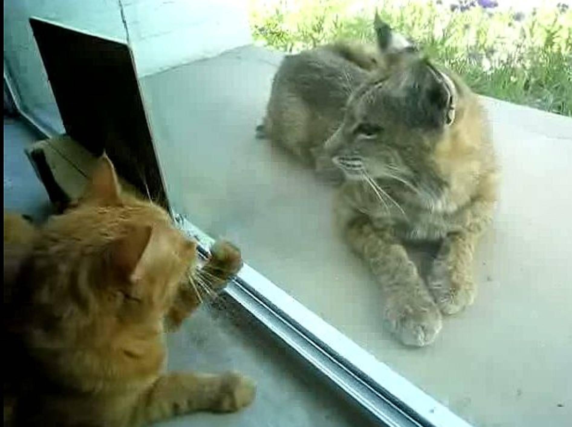 Seltene Begegnung: Stubentiger trifft Wildkatze – Bild: Youtube / inazicuc