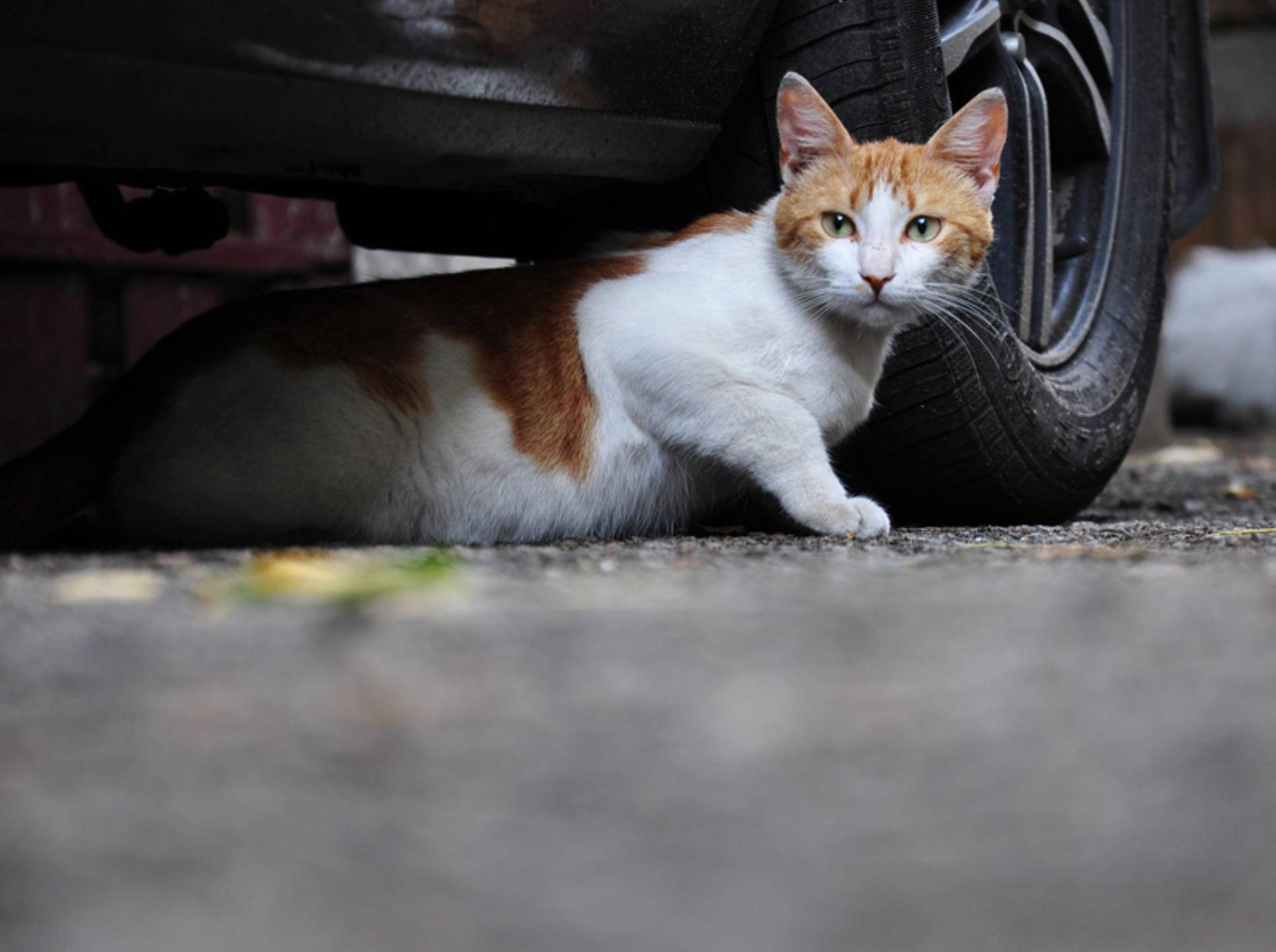 Autos gehören zu den größten Gefahren für Freigänger – Bild: Shutterstock / NicO_l