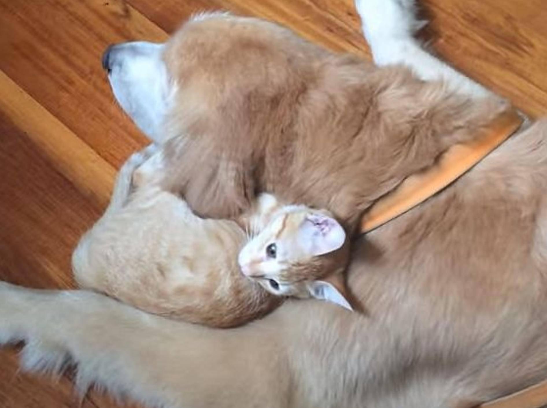 Niedlich: Katzenbaby wächst mit Hund auf – Bild: Youtube / Keelo and Koda