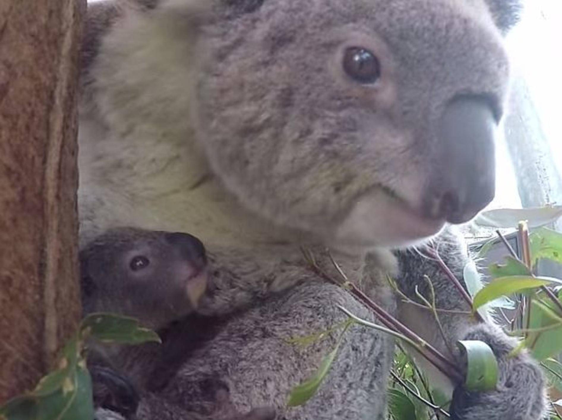 Zoo in Sydney hat einen zauberhaften neuen Baby-Koala – Bild: Youtube / Taronga Sydney