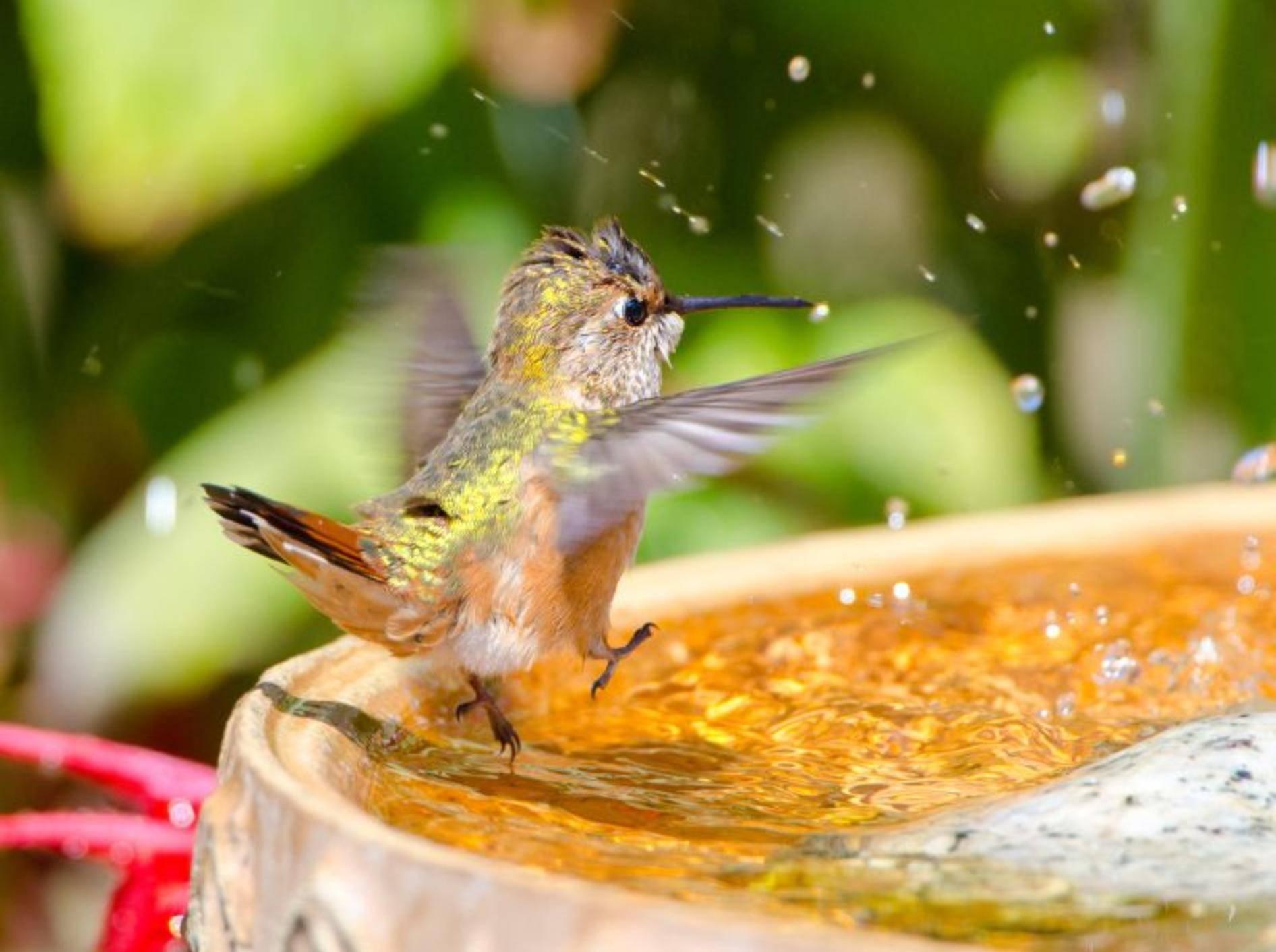 """""""1, 2, 3 und auf geht's!!!"""" Ganz eindeutig: Dieser Kolibri freut sich auf die Badezeit! – Bild: Shutterstock / Birdiegal"""