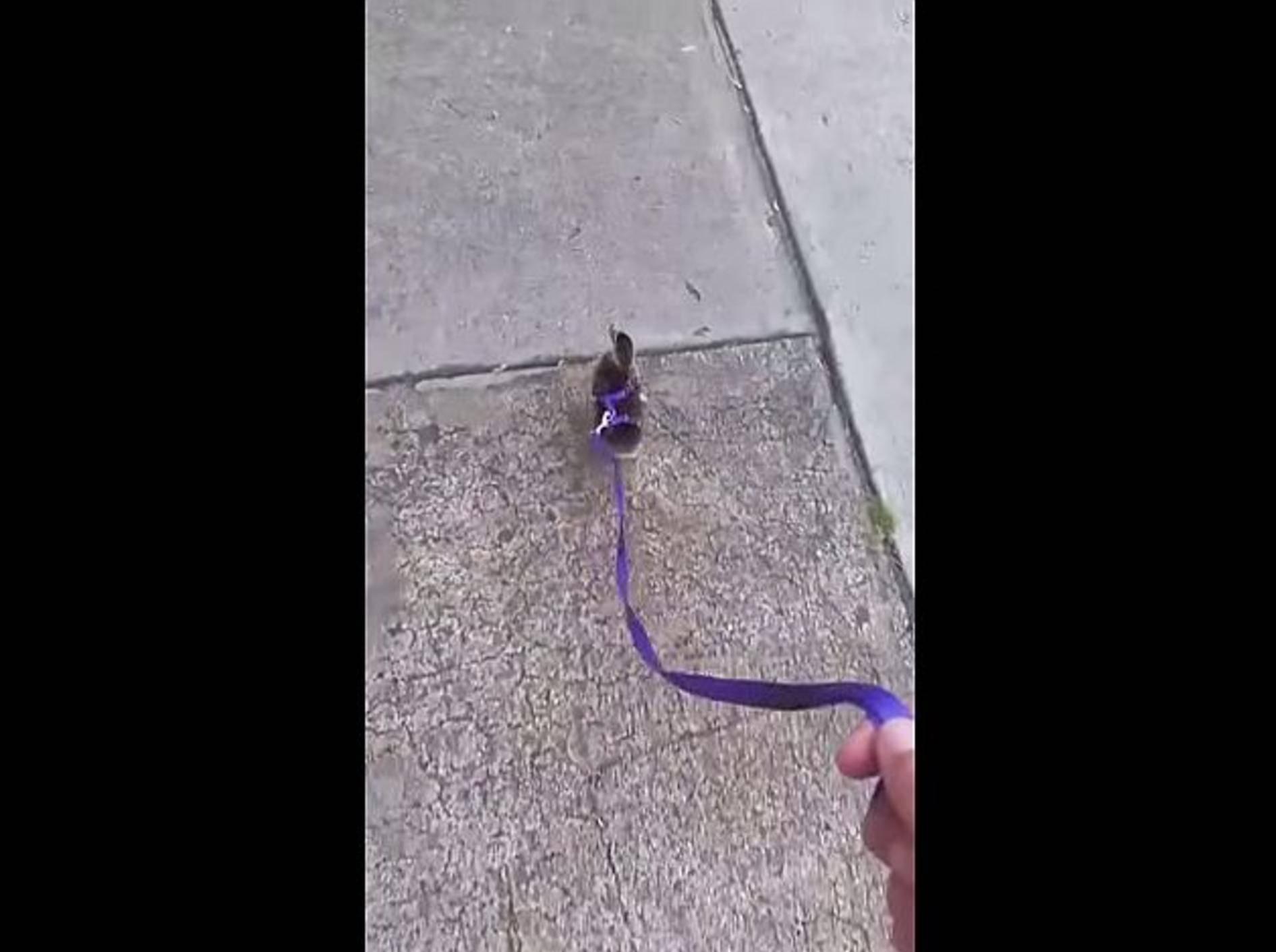 So süß: Spaziergang mit einem Entenküken – Bild: Youtube / TastefullyOffensive.com