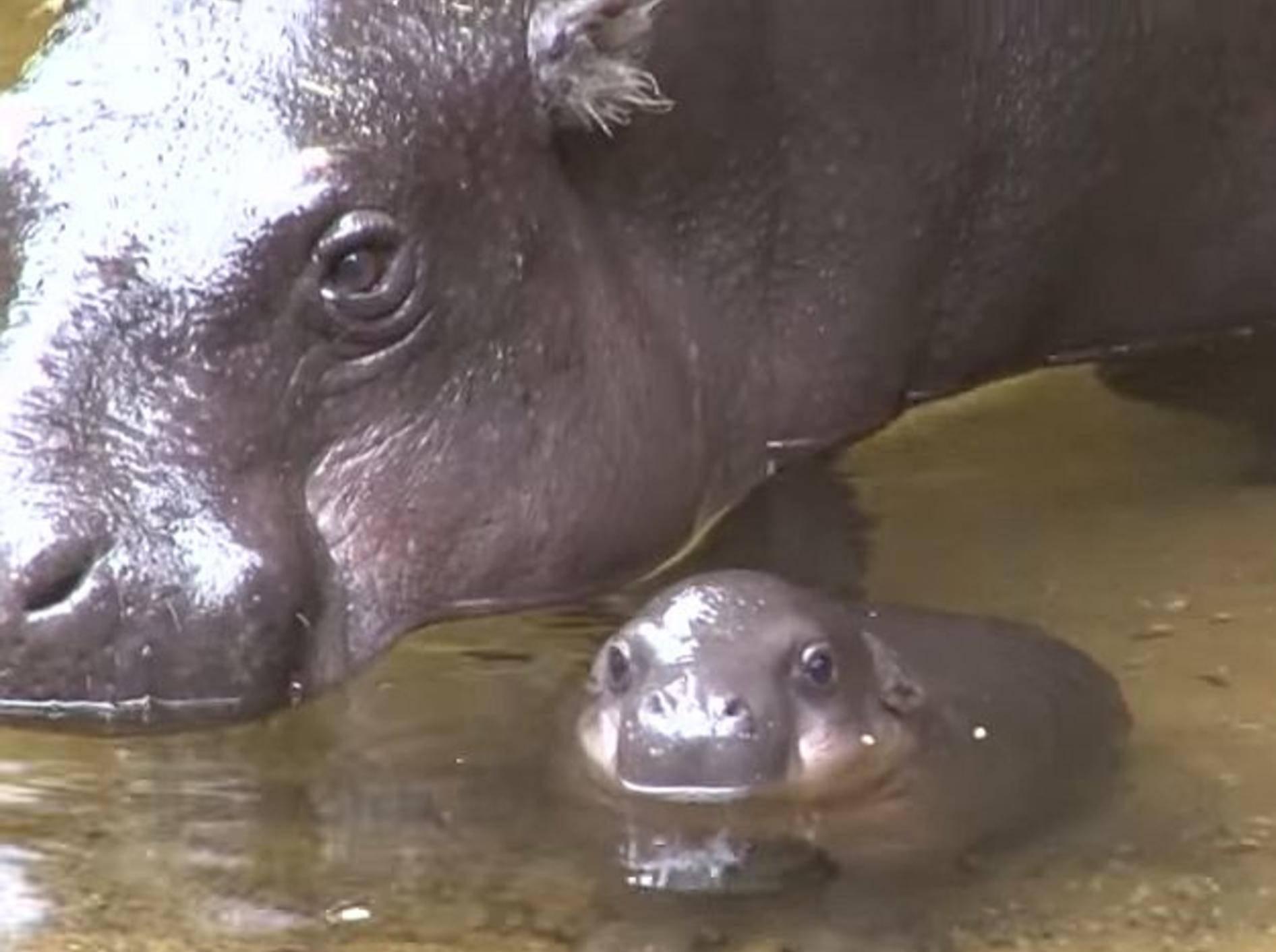 Plitsch Platsch: Ein Baby-Nilpferd geht baden – Bild: Youtube / ZoosVictoria