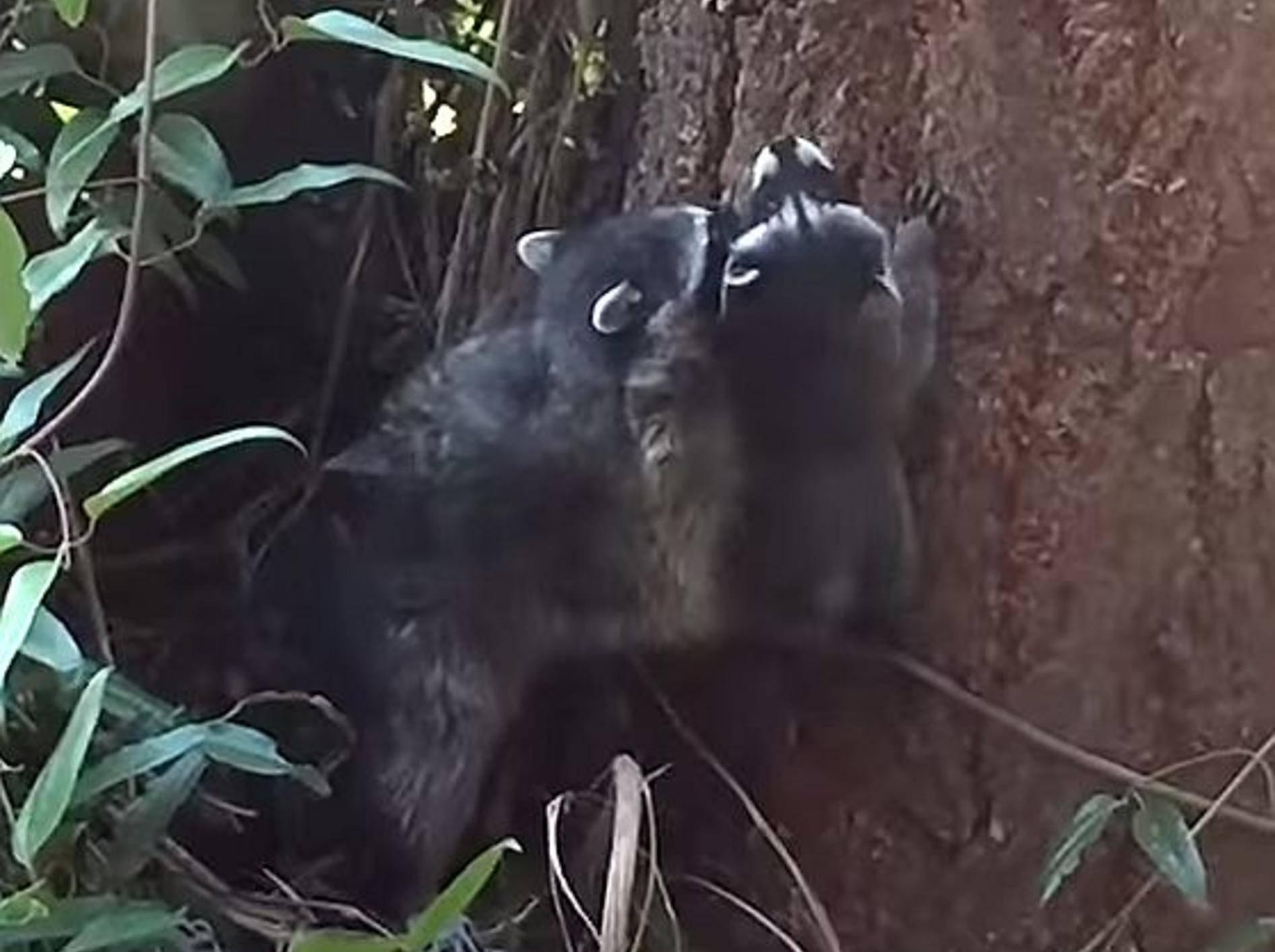 """Waschbärmama: """"So klettert man auf Bäume!"""" – Bild: Youtube / Jeffrey Reid"""