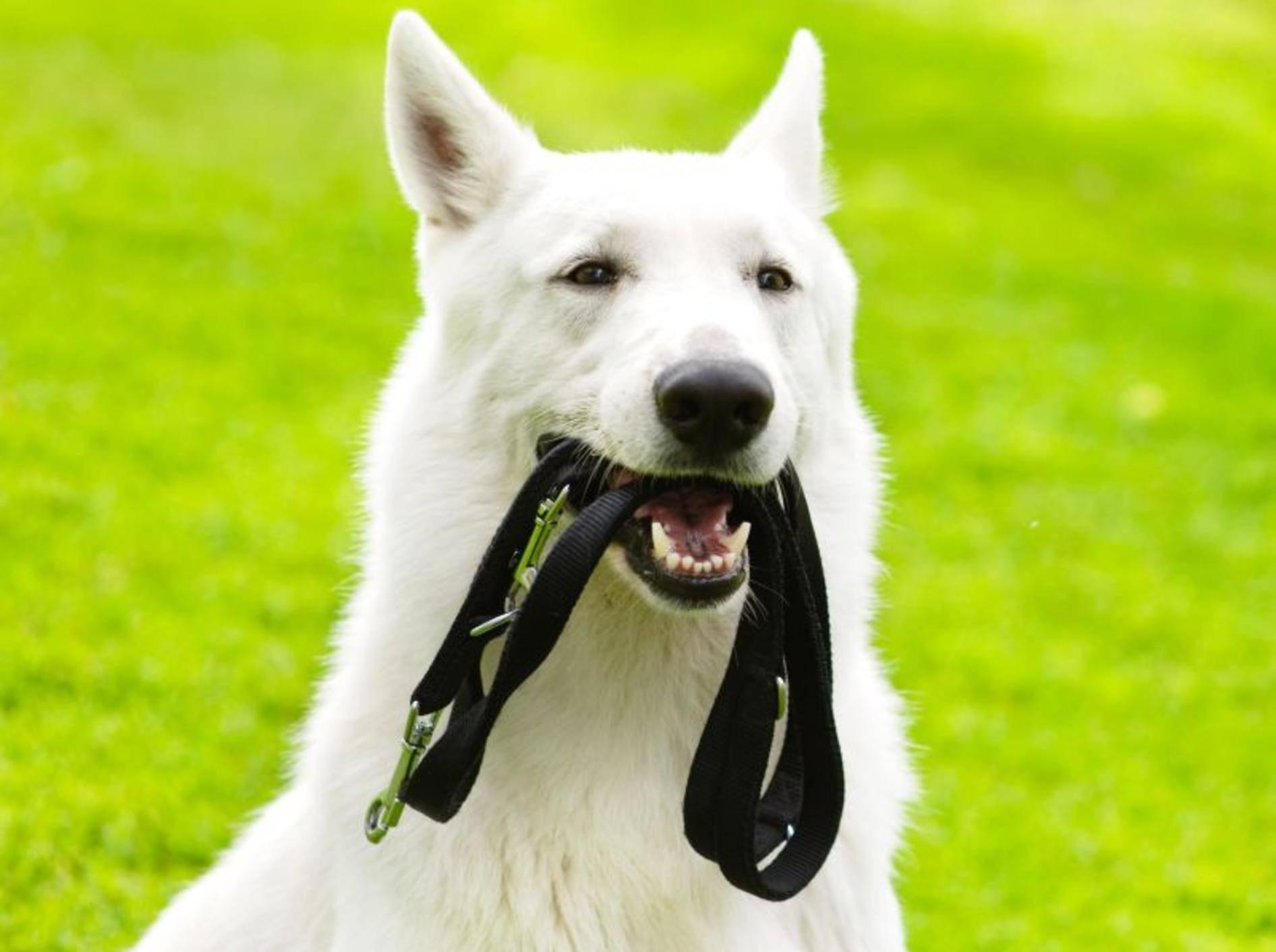 Nicht vergessen beim Gassigehen: Die Hundeleine – Bild: Shutterstock / Ermolaev Alexander1